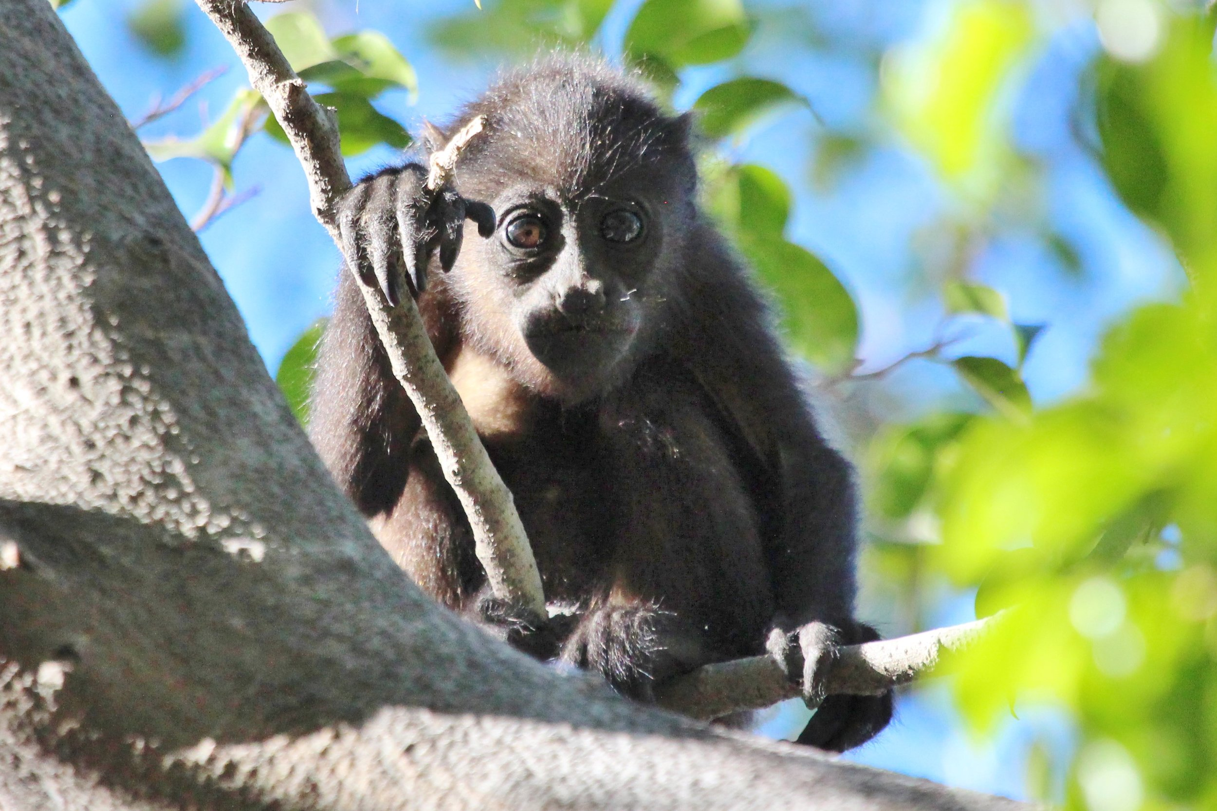 This little guy was so cute! Howler monkeys are primarily leaf eaters, so they're pretty slow moving.