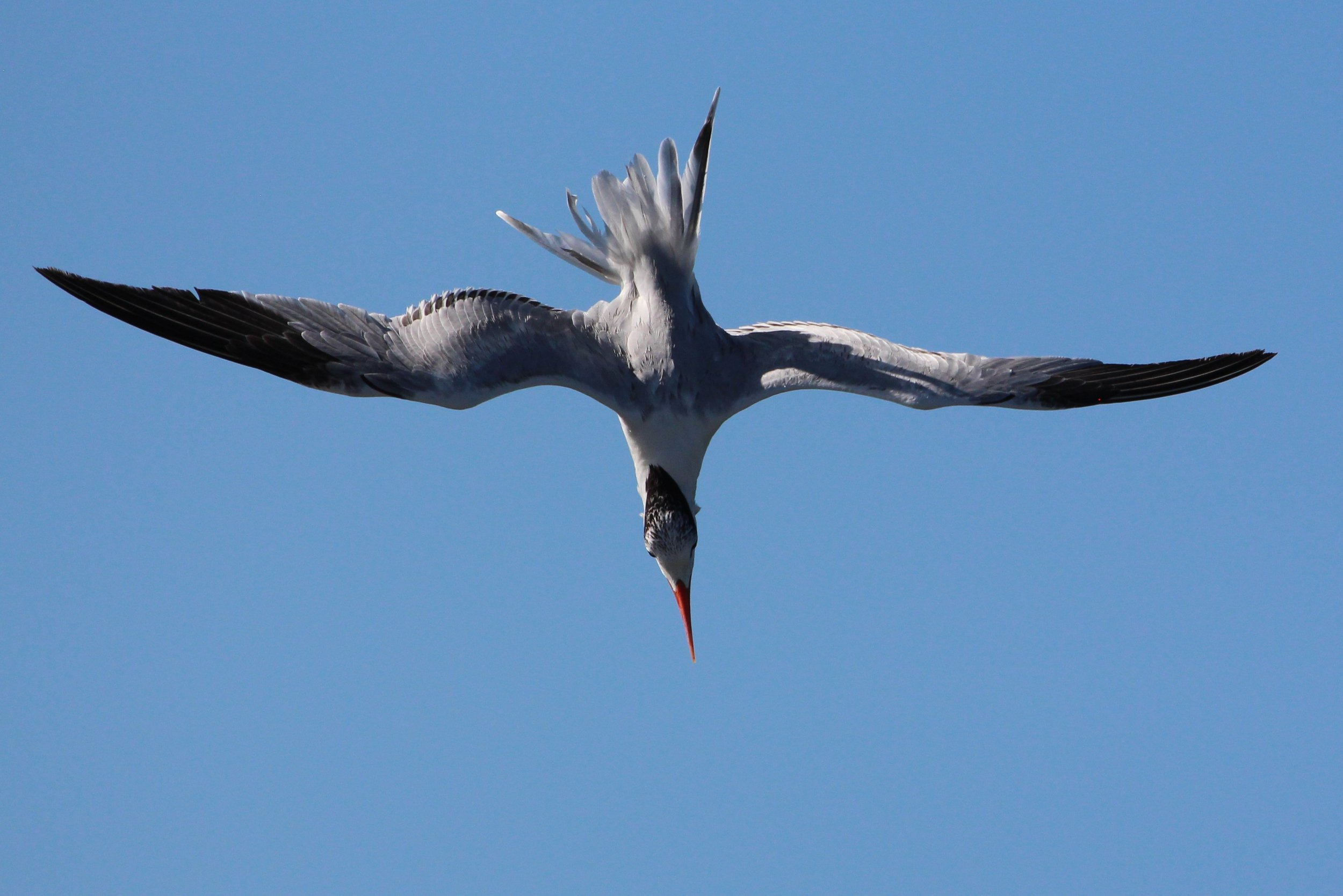 A Royal Tern on his way down for a snack.