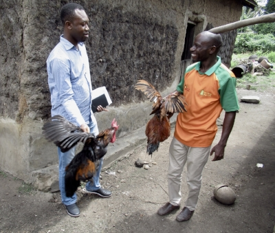Farmers in Nigeria weigh their dual-purpose chickens.