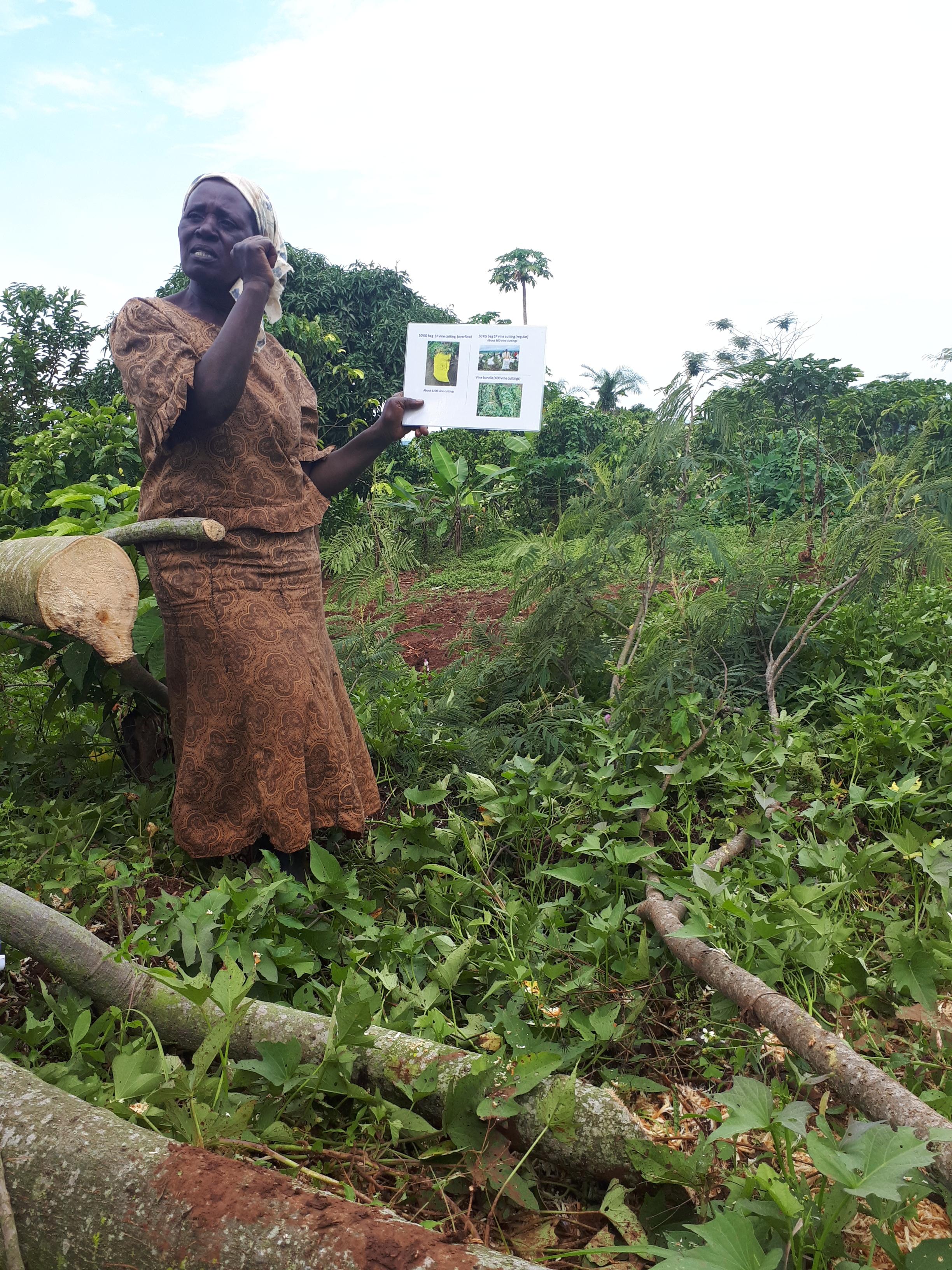 Cissy Kagalu of Mukono District, Uganda explains how many sweet potato vines she planted in her fields.