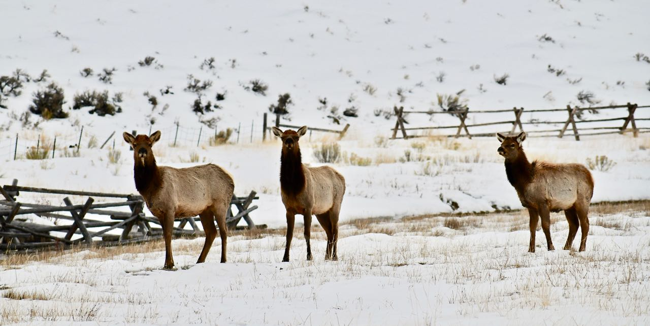 The deep snow in the mountains drives the elk down to lower elevations in the winter.