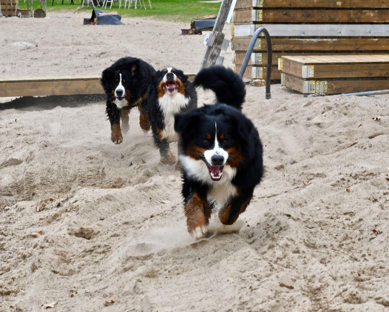 Sand dogs.jpg