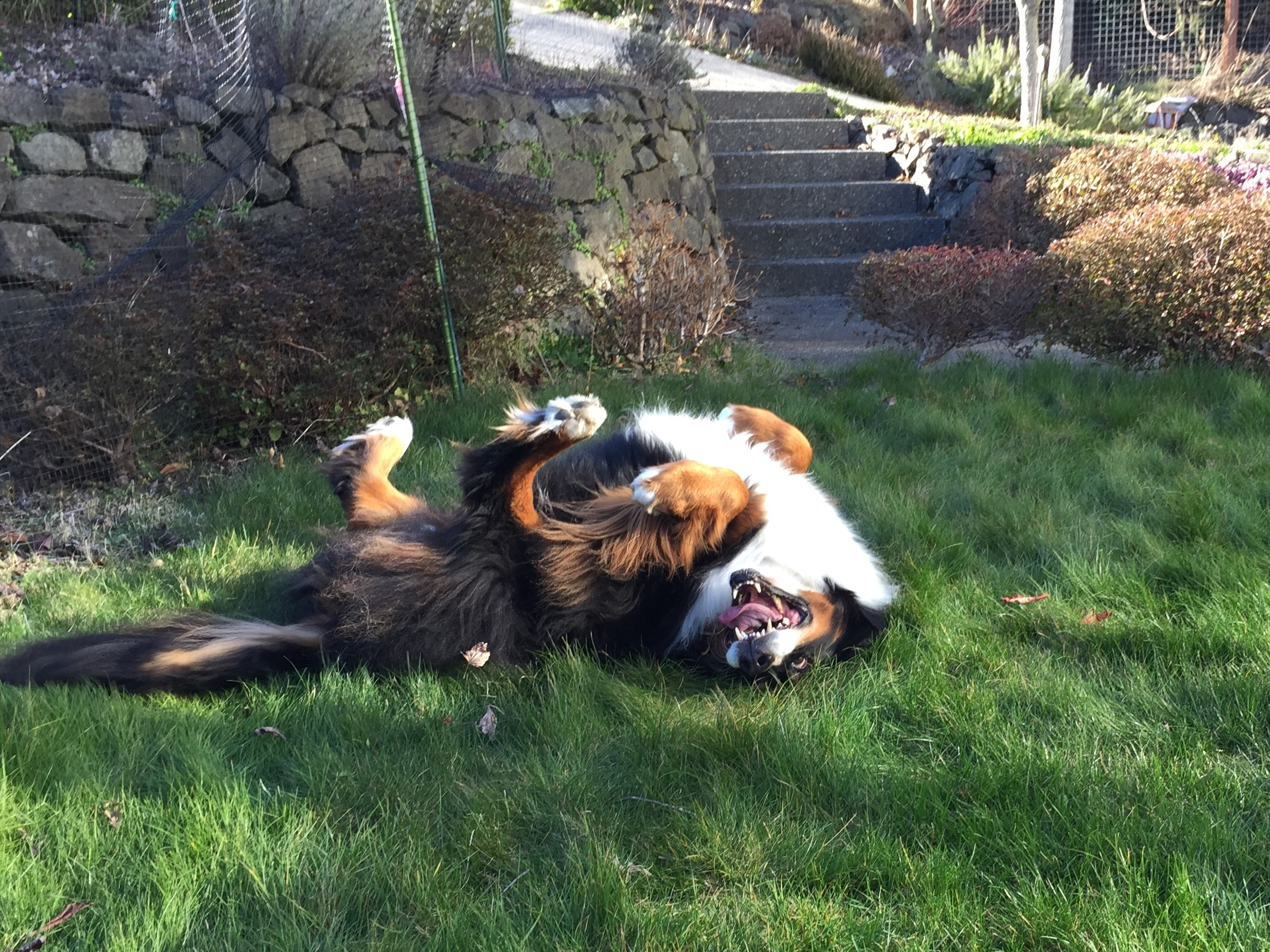 """""""Her new favorite activity—hanging out in the front yard and rolling in the green grass""""."""""""
