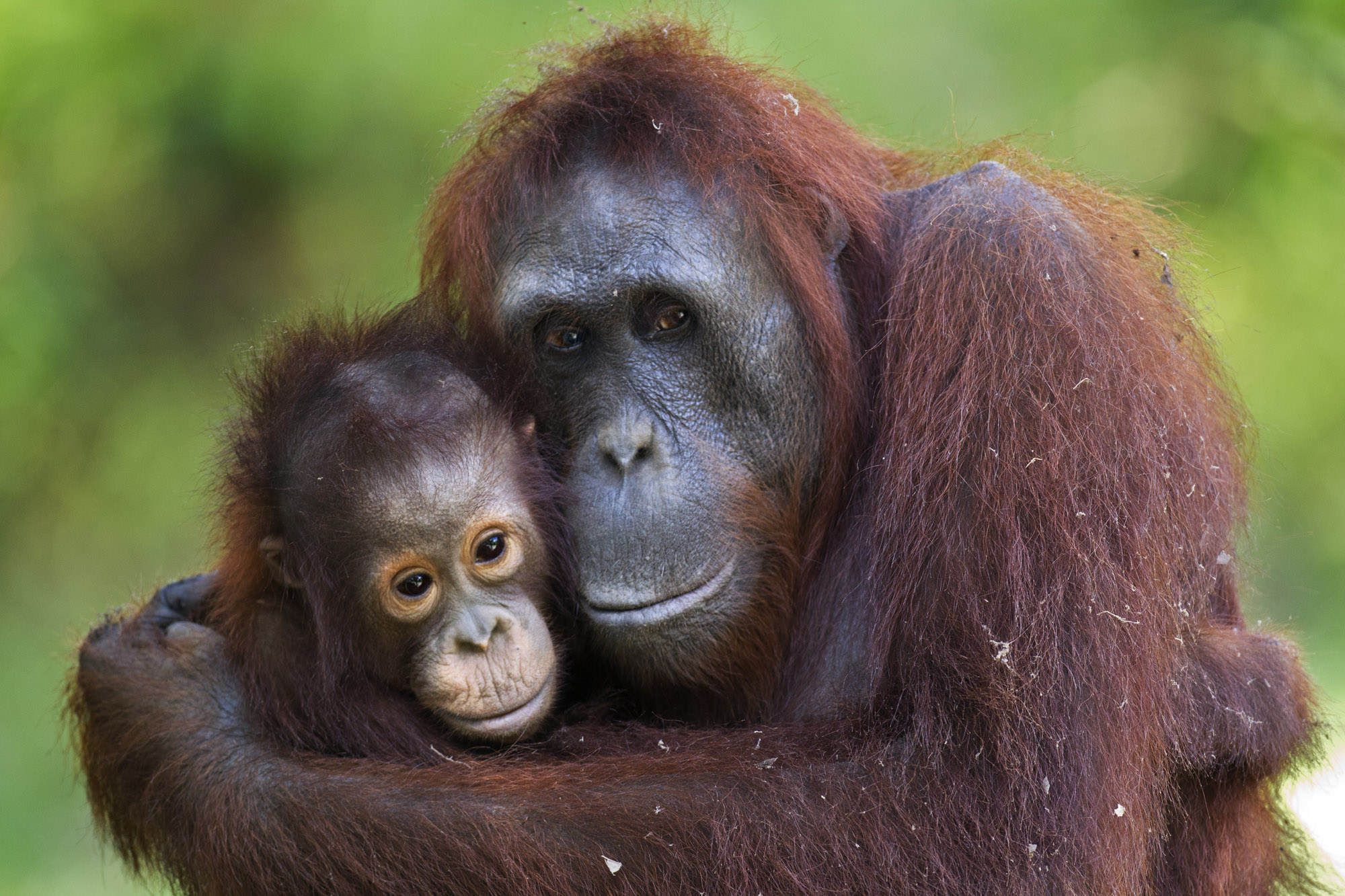Donate Mother and infant orangutan Anup Shah.jpg