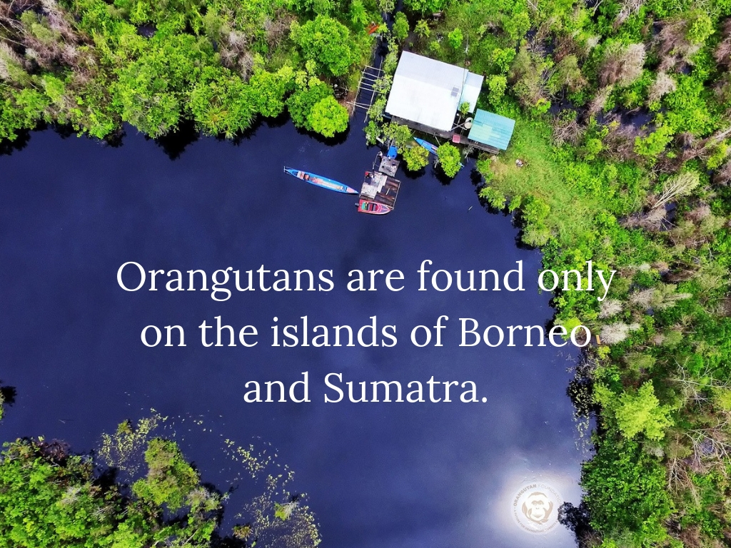 Orangutans are found only on the islands of Borneo and Sumatra..jpg