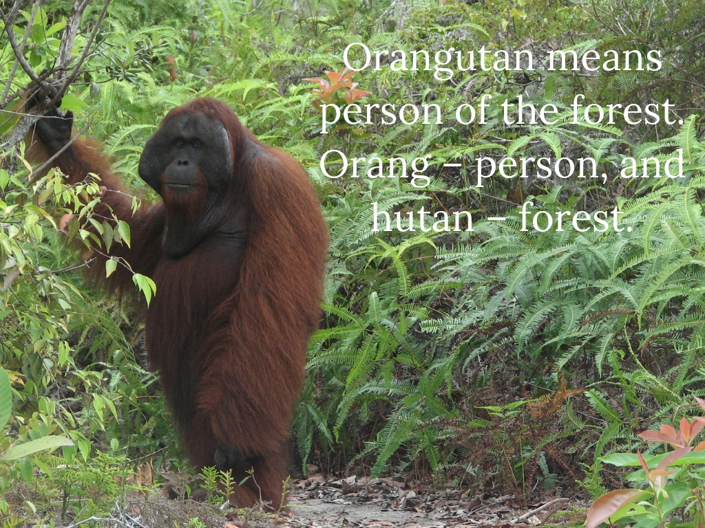 Orangutan means person of the forest. Orang – person and hutan – forest..jpg