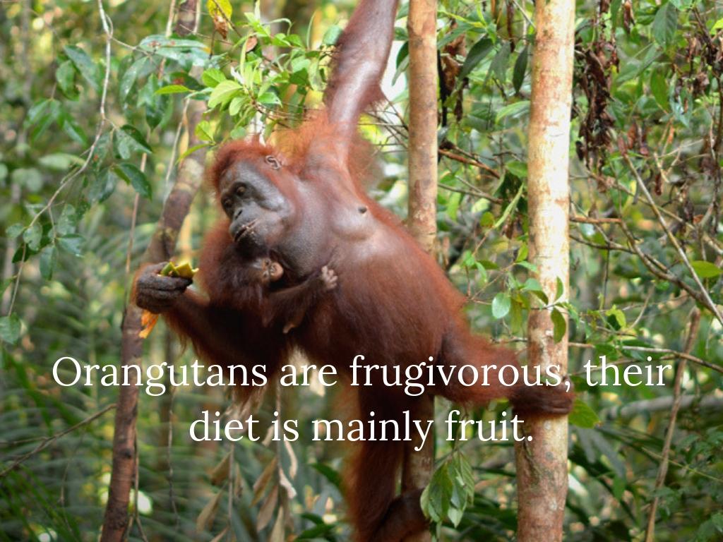 Orangutans are frugivorous, their diet comprises mainly fruit.jpg