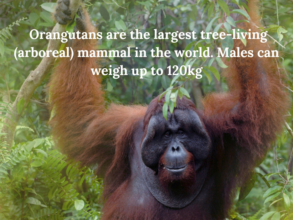 Orangutans are the largest tree-living (arboreal) mammal in the world. Males can weigh up to 120kg. (4).jpg