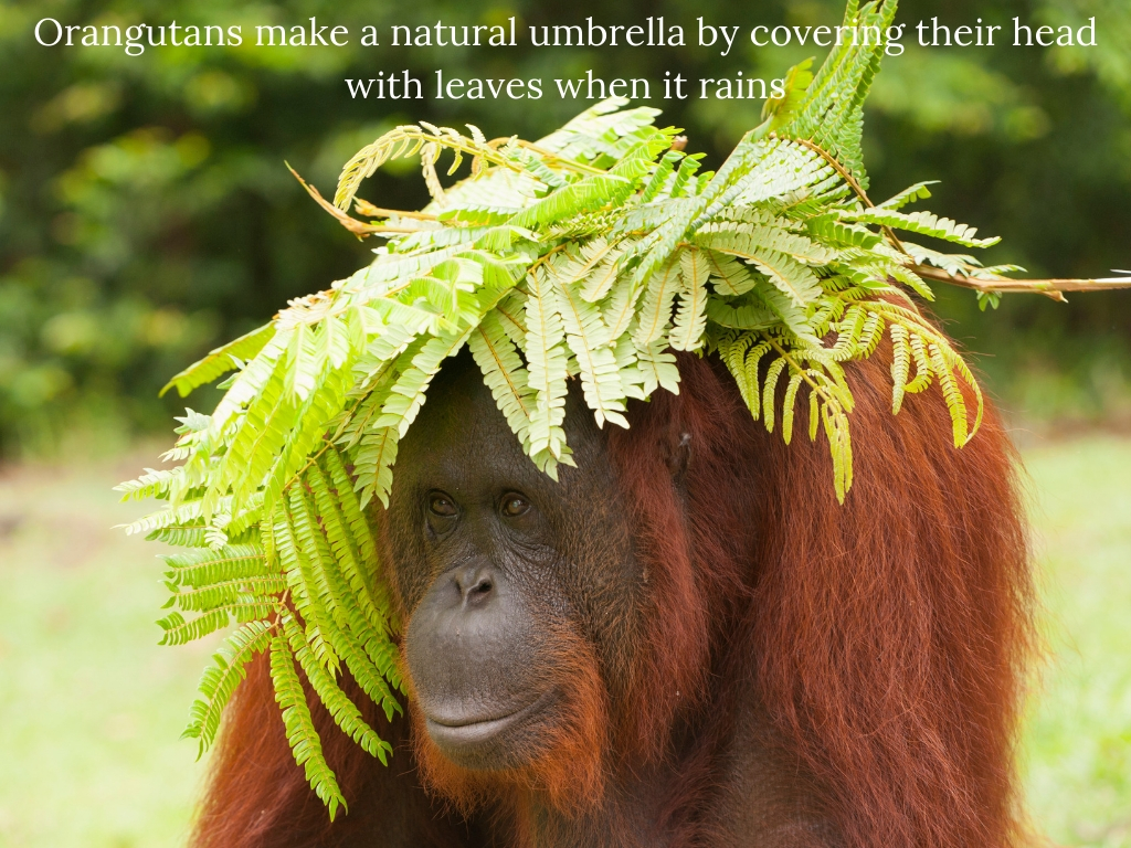 Orangutans make a natural umbrella by covering their heads with leaves when it rains.jpg