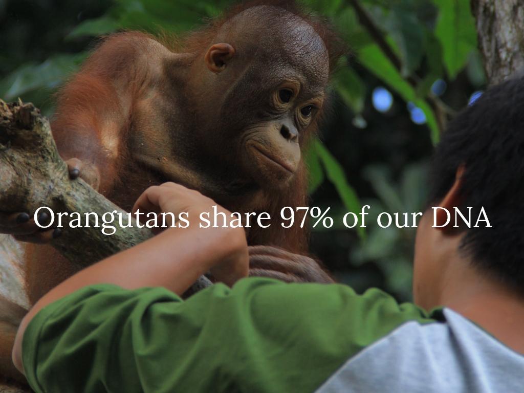 Orangutans share 97% of our DNA.jpg