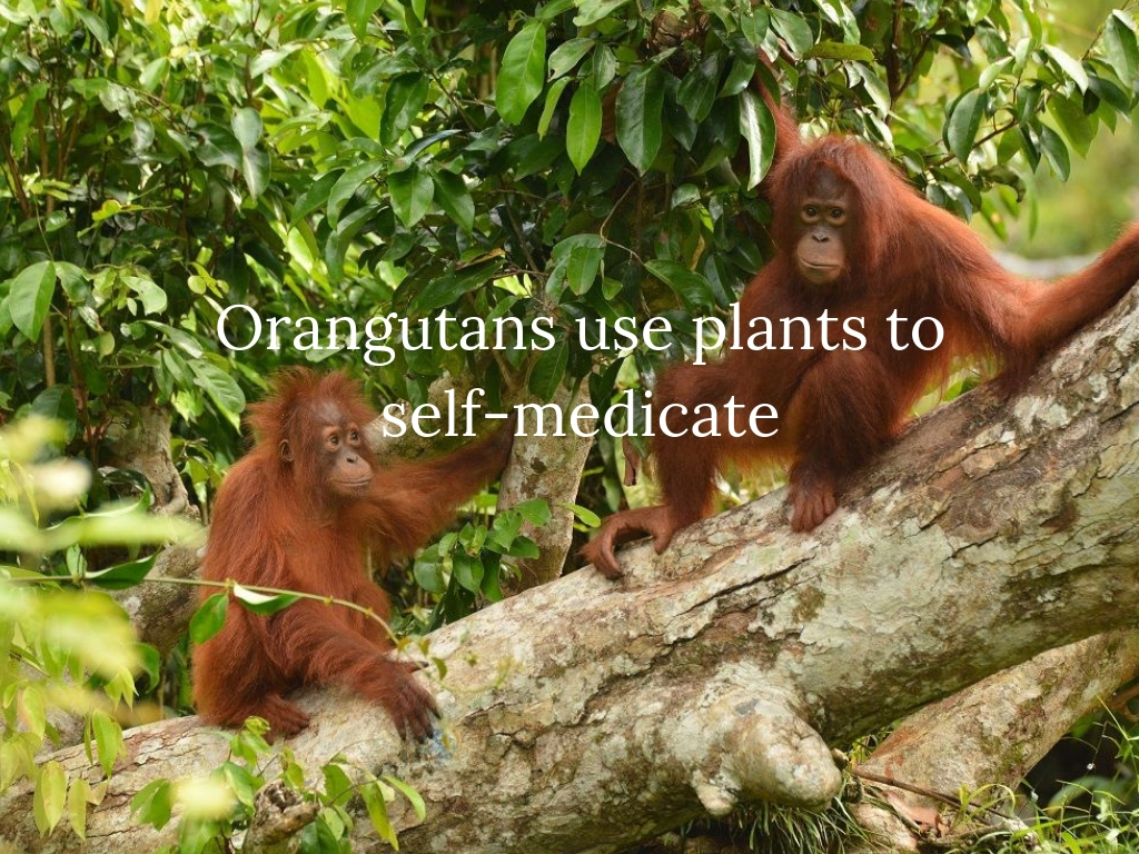 Orangutans use plants to self-medicate.jpg