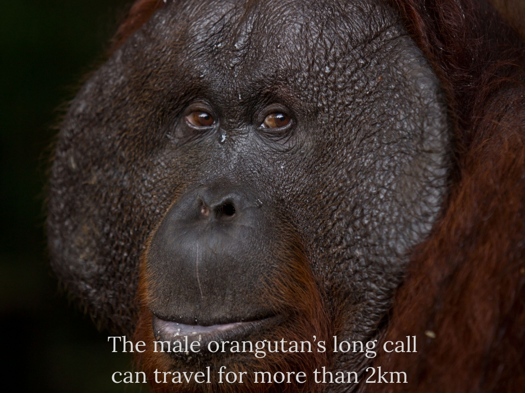 The male orangutan's long call can travel more than 2km (listen to it here)..jpg