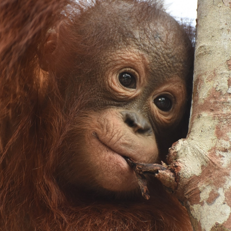 Orphaned orangutan Mona November 2018