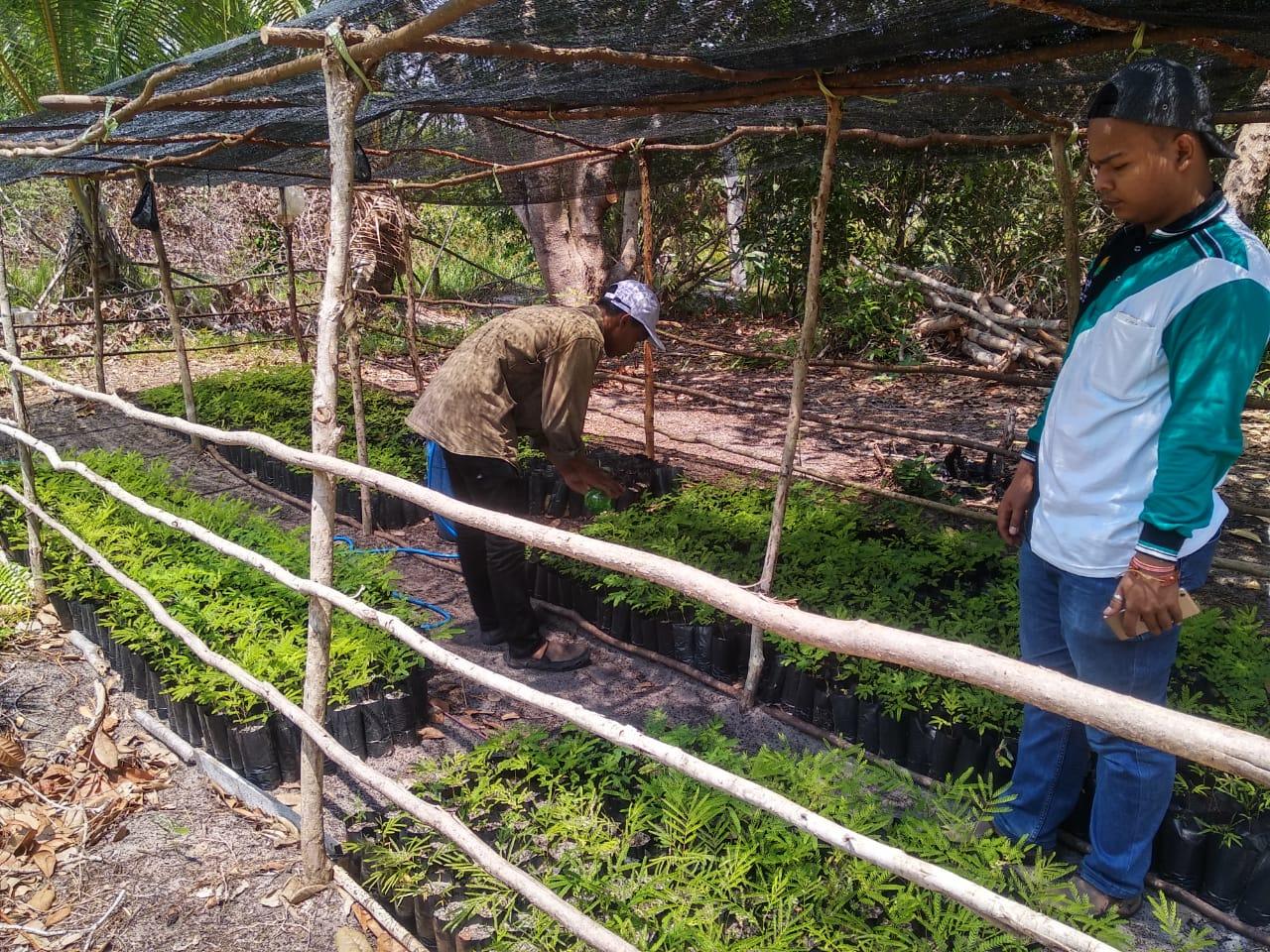 Farmers nurturing sengon seedlings for planting out.