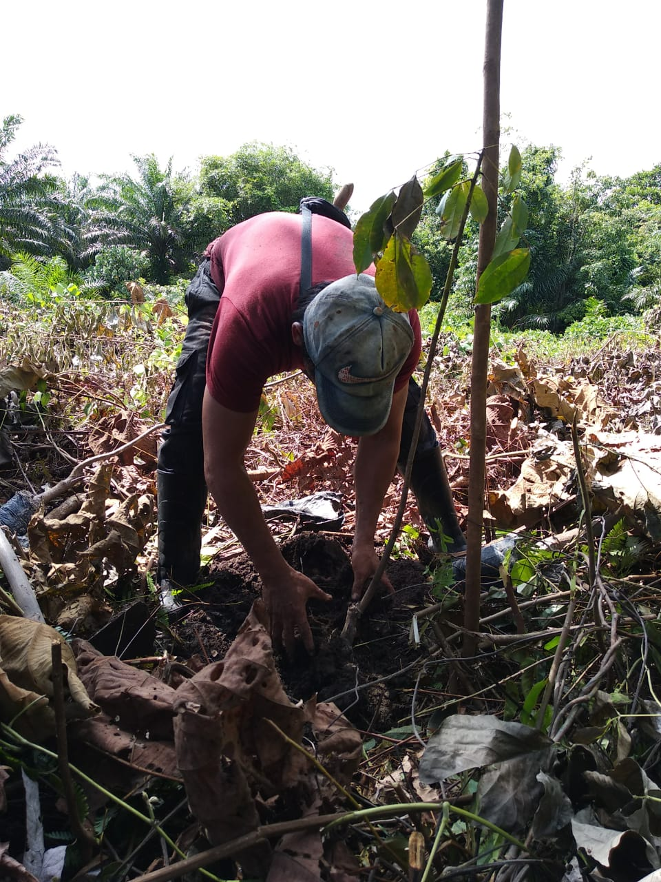 Planting rubber in the demonstraion plot