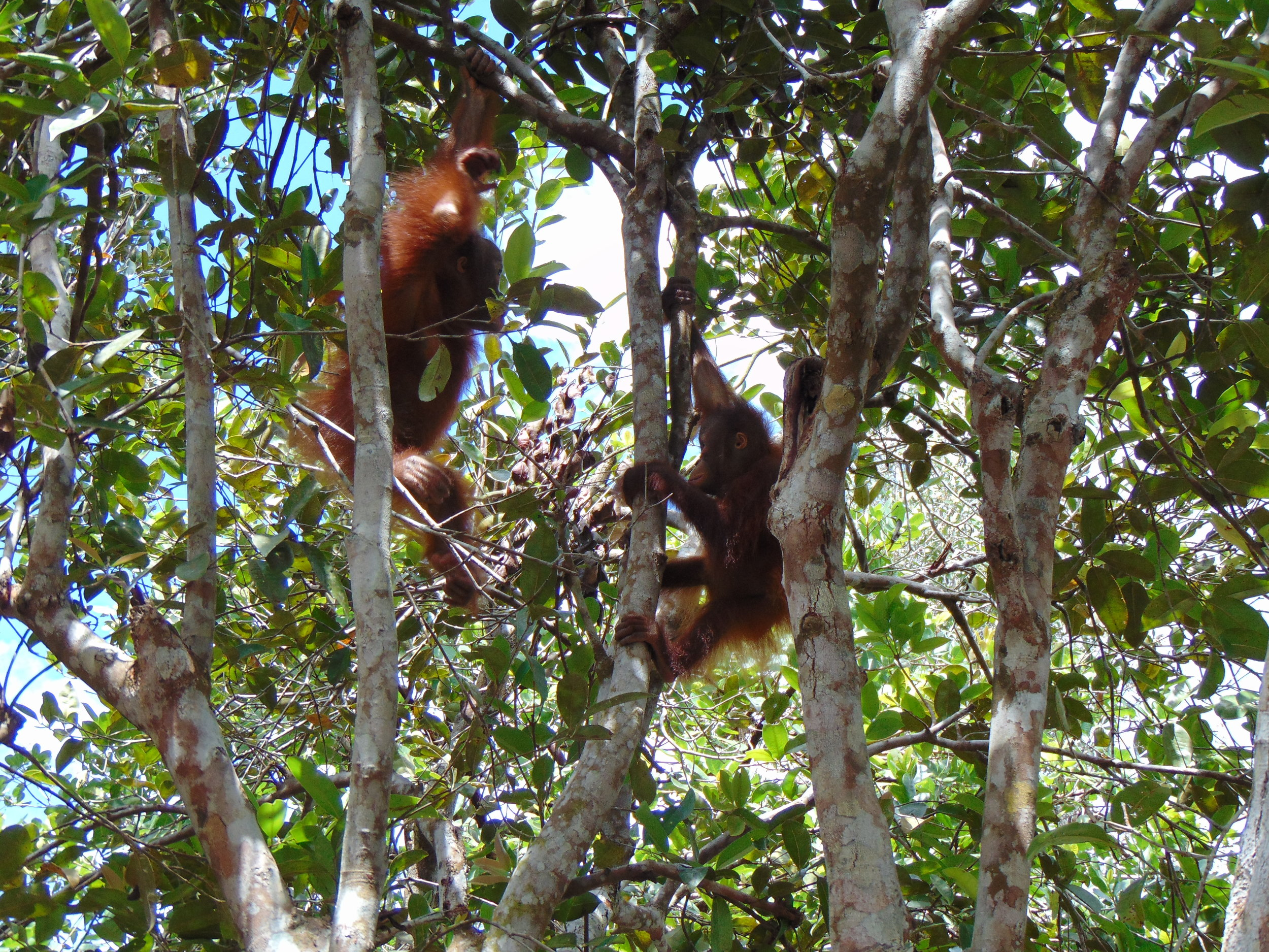 Second stop, Camp JL - young orphaned orangutans 5 year old Nyunyu (left) and 3.5 year old Mona (right) playing in the trees.
