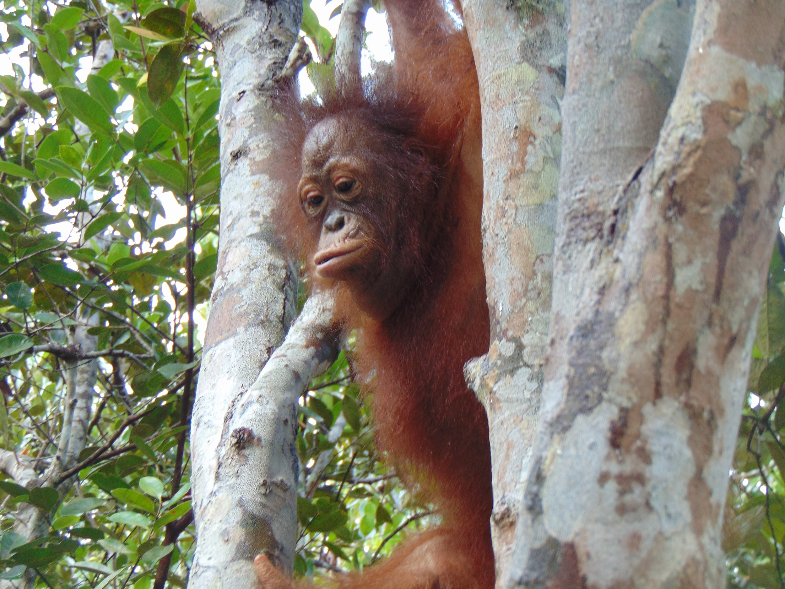 Camp JL- 3.5 year-old female orangutan Timtom, January 2019.