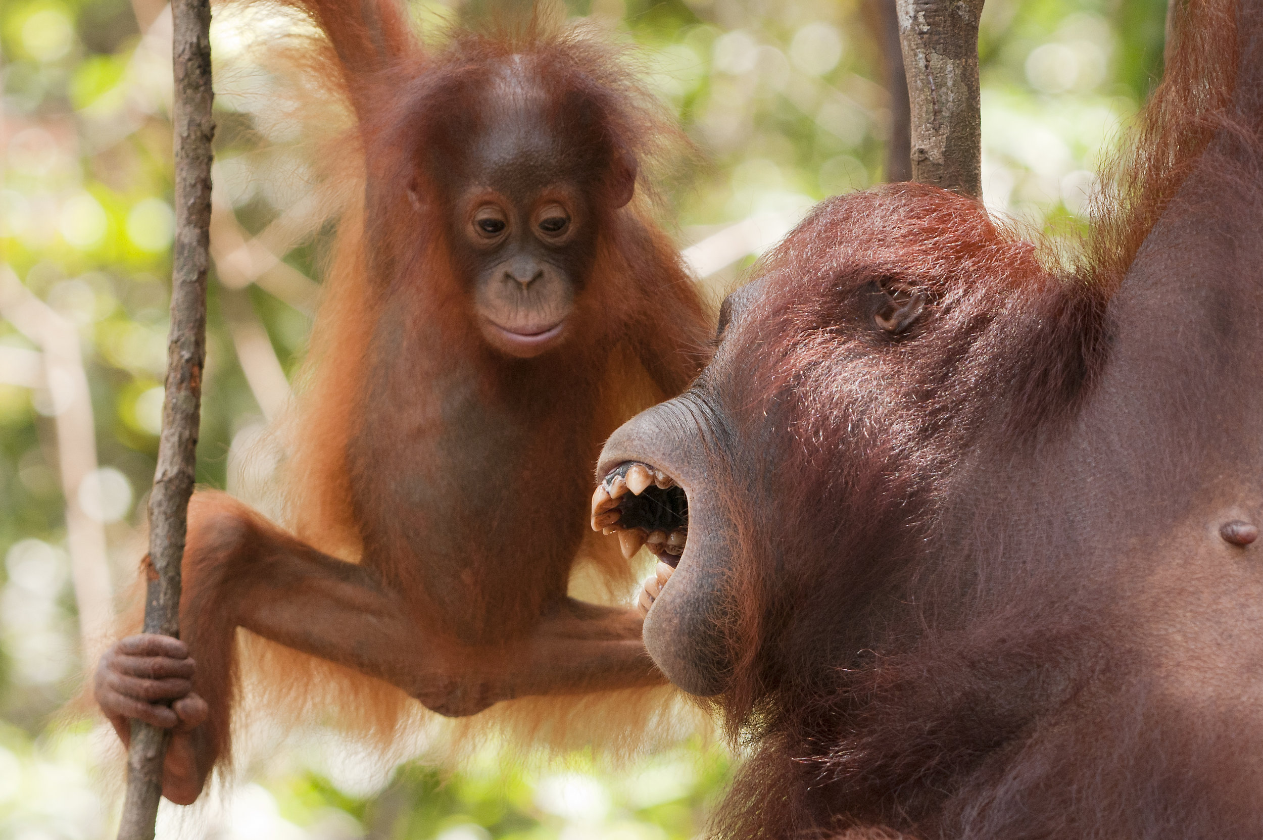 Young Bornean orangutan with mother. By Ian Wood.