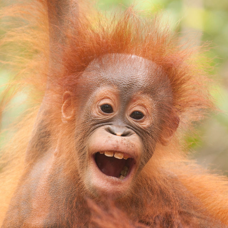 2. Young Bornean orangutan by Ian Wood