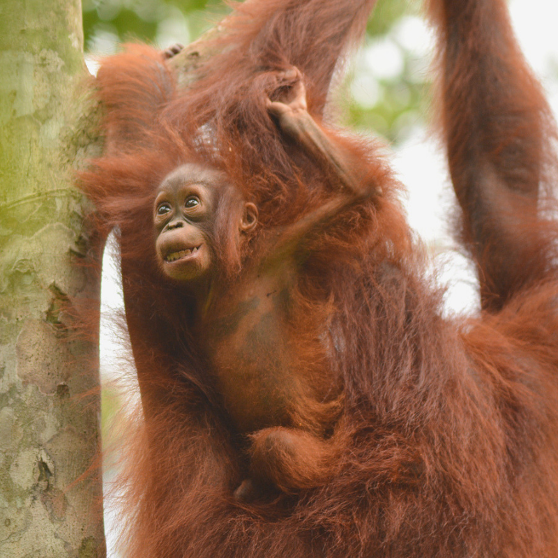 7. Piggybacking backwards! Orangutan Foundation
