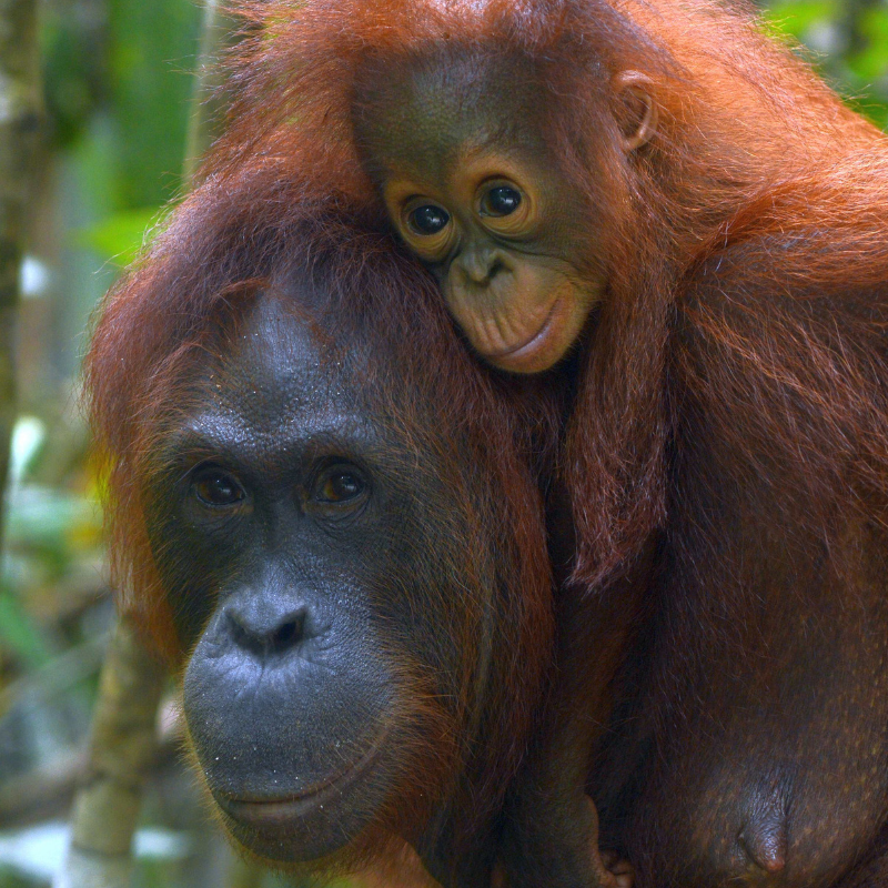 8. Big beautiful eyes. Orangutan Foundation