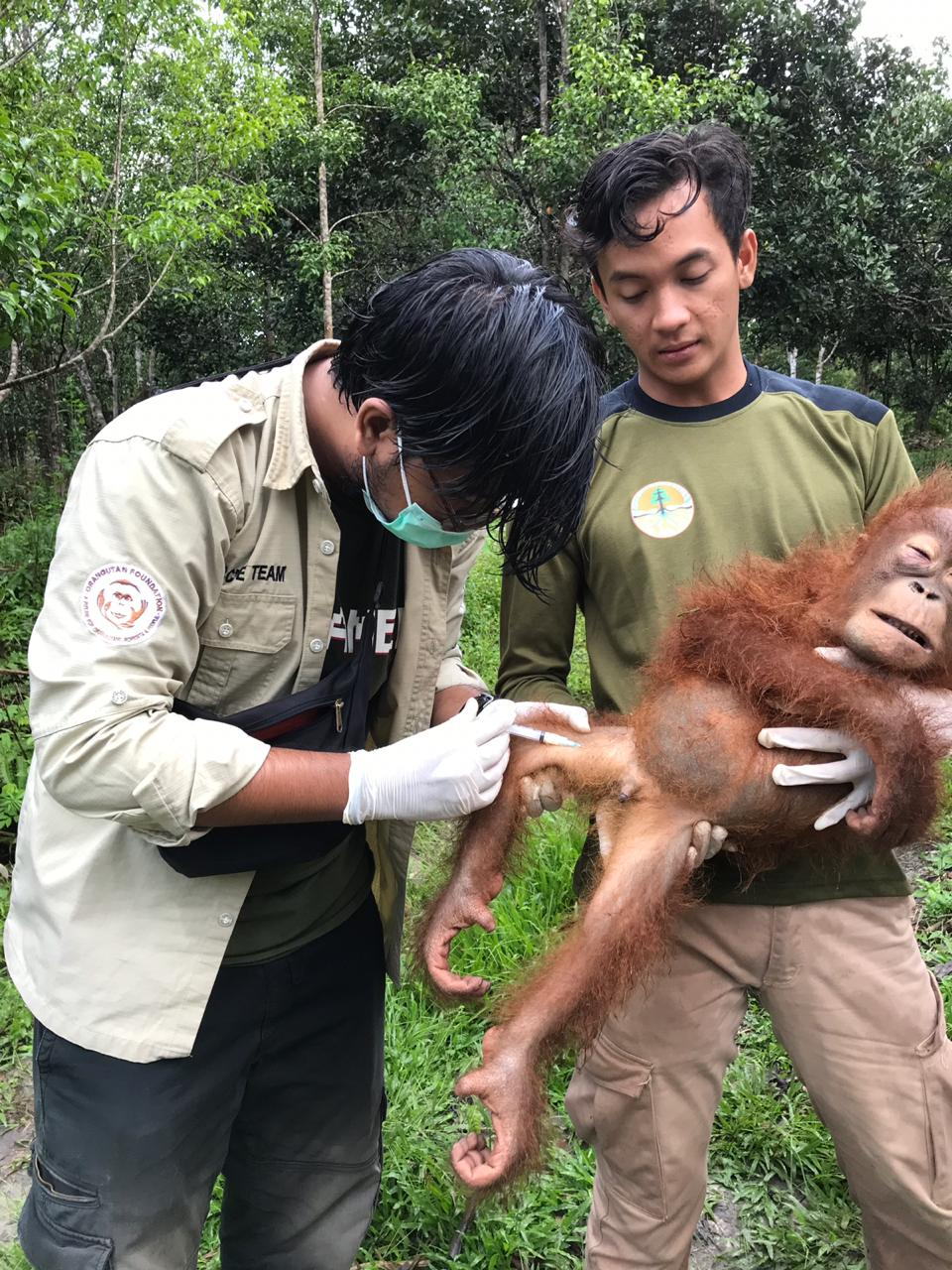 Tranquillised orangutan, named Panglima