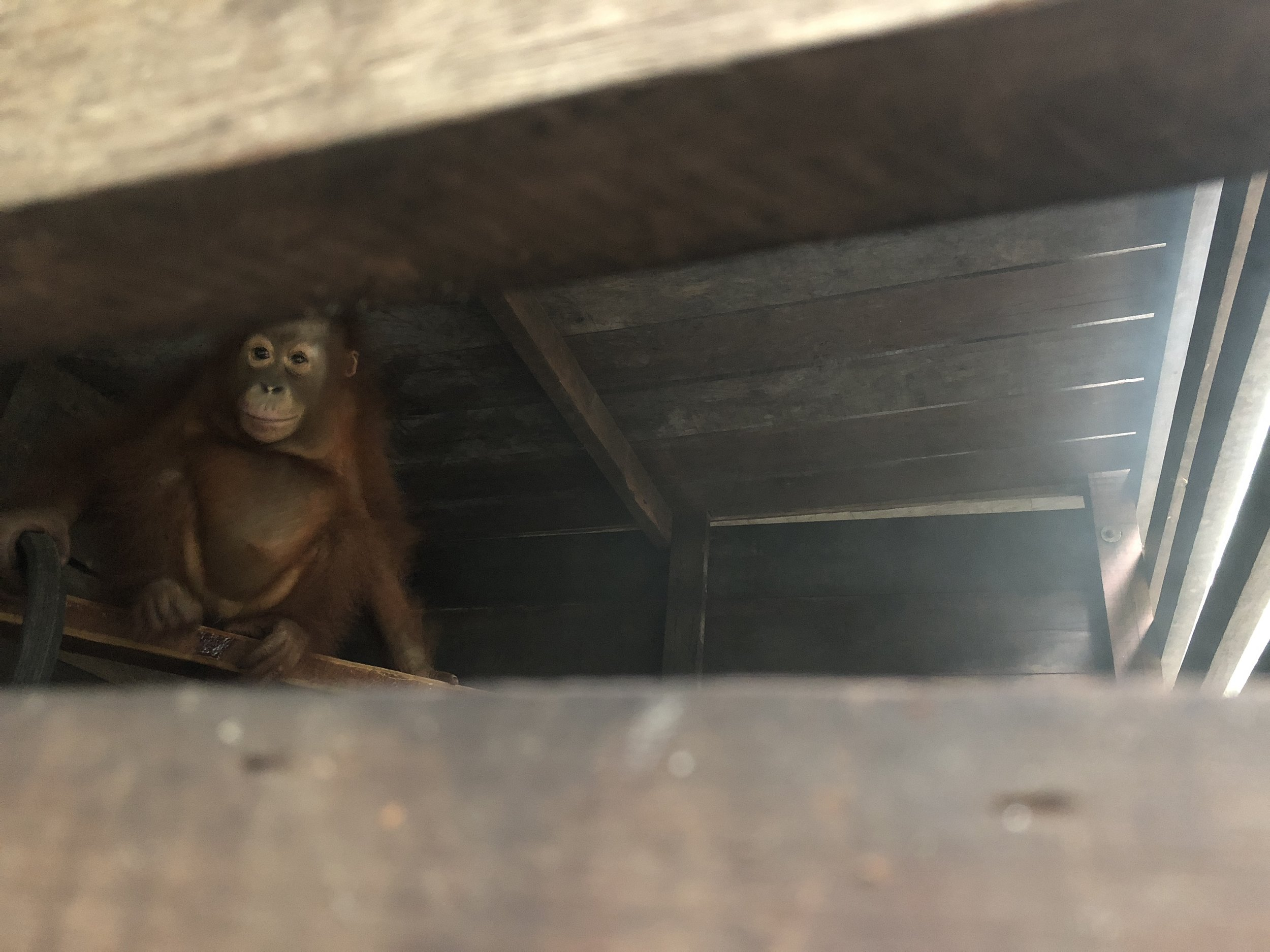 Panglima, a rescued wild Bornean orangutan is very wary of humans.