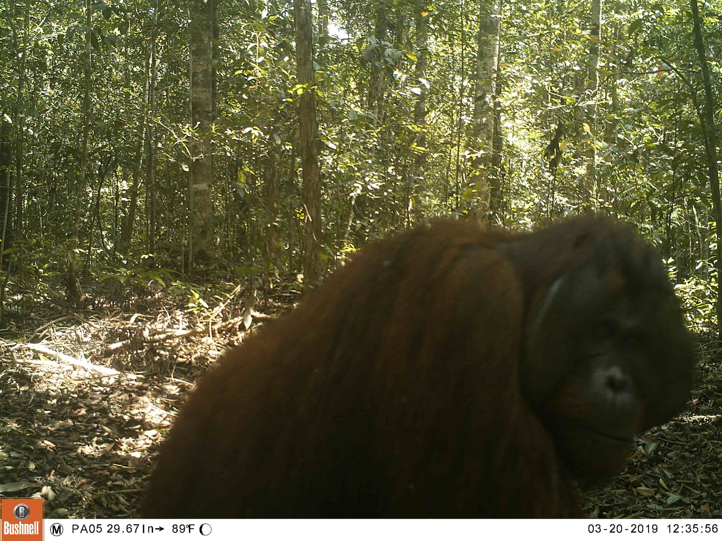 Camera trap snaps a wild adult male orangutan.
