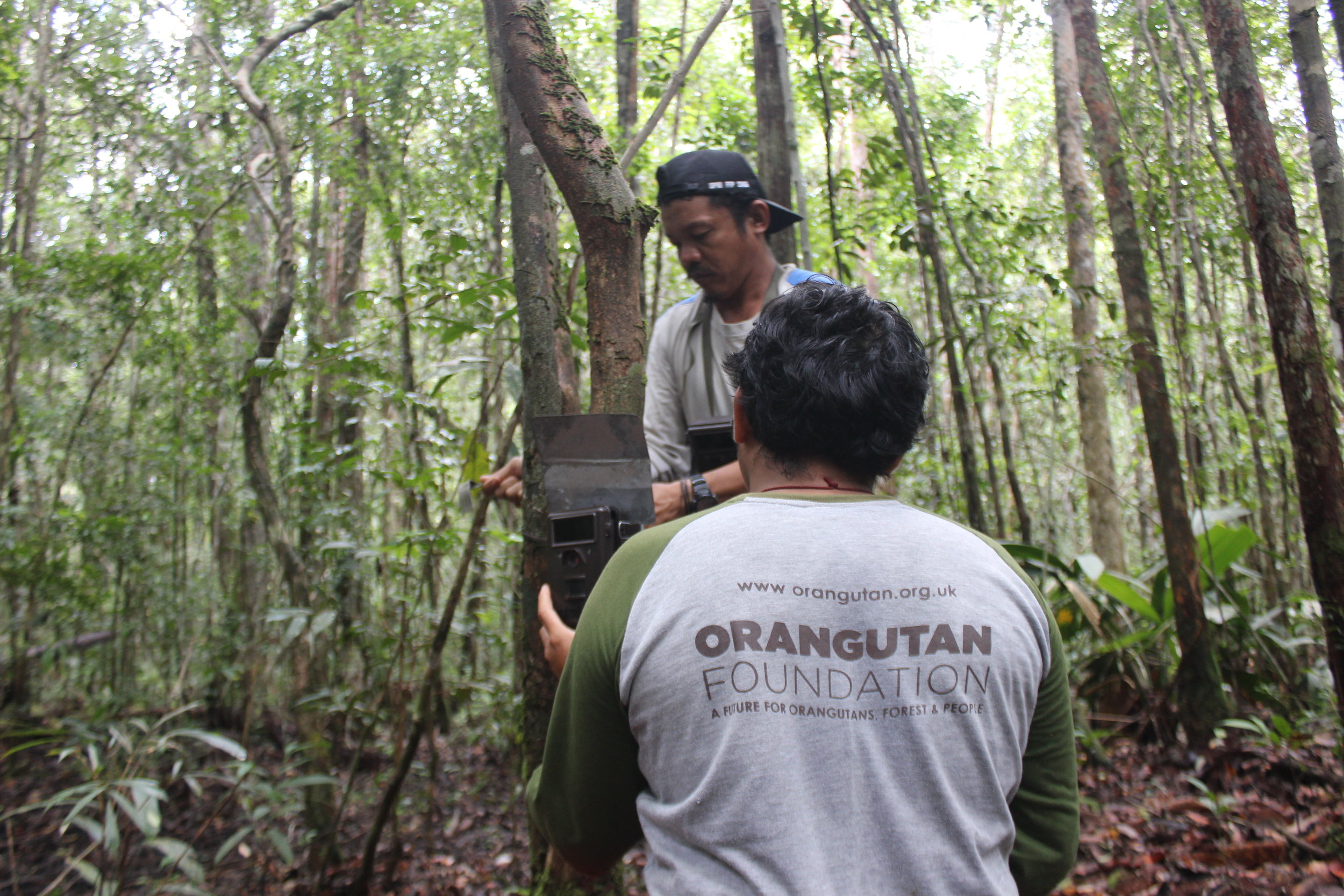 Orangutan Foundation researchers fitting camera traps, which require constant maintenance in the humid conditions and with the odd interference from wildlife too!