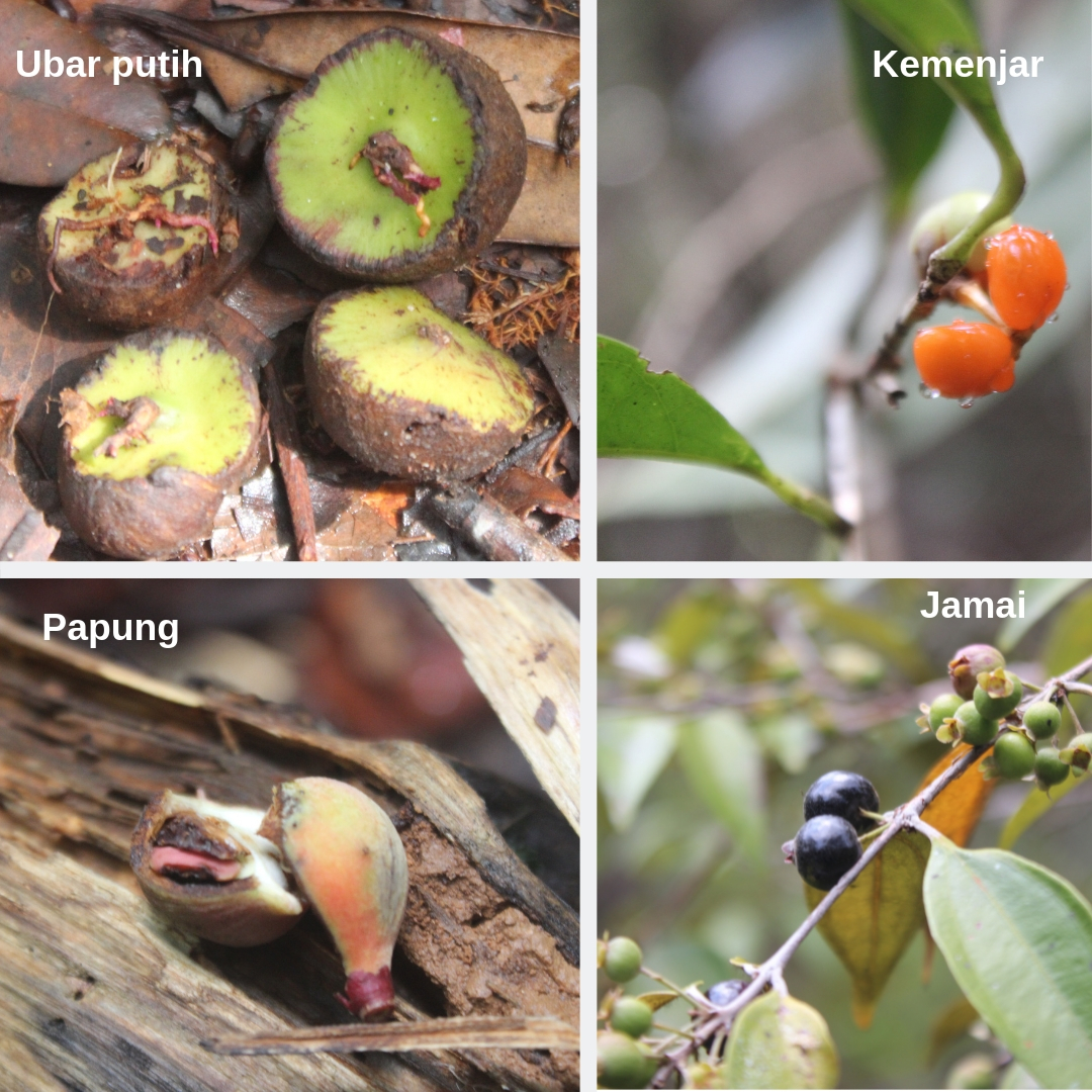 Phenology studies. In March, observations along a transect found 25 species of tree flowering and fruiting, many orangutan food trees such as papung and ubar.