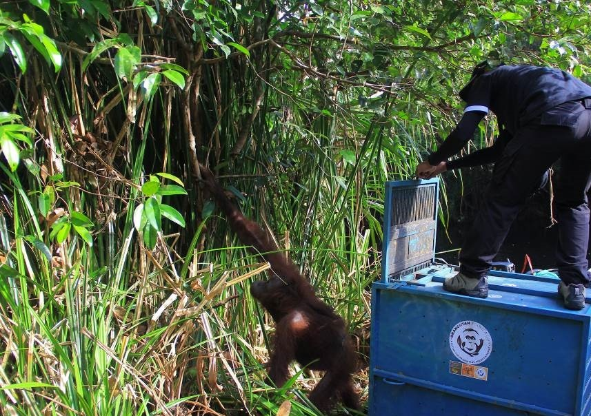 Release of orangutan back into the wild