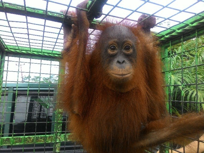 Shifa is now living free in the protected Lamandau Wildlife Reserve