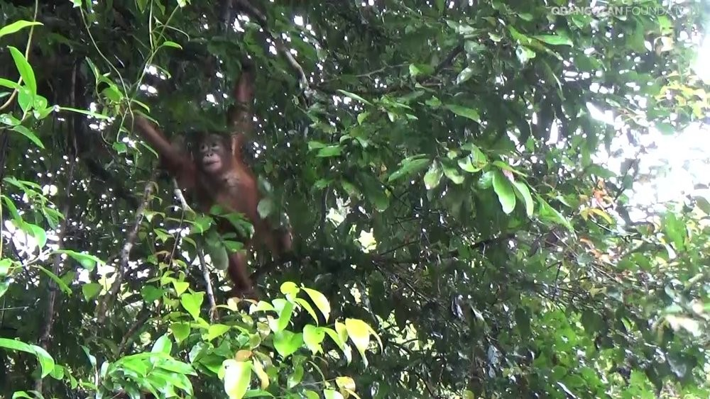 5-year-old orangutan, Panglima, released into the reserve.