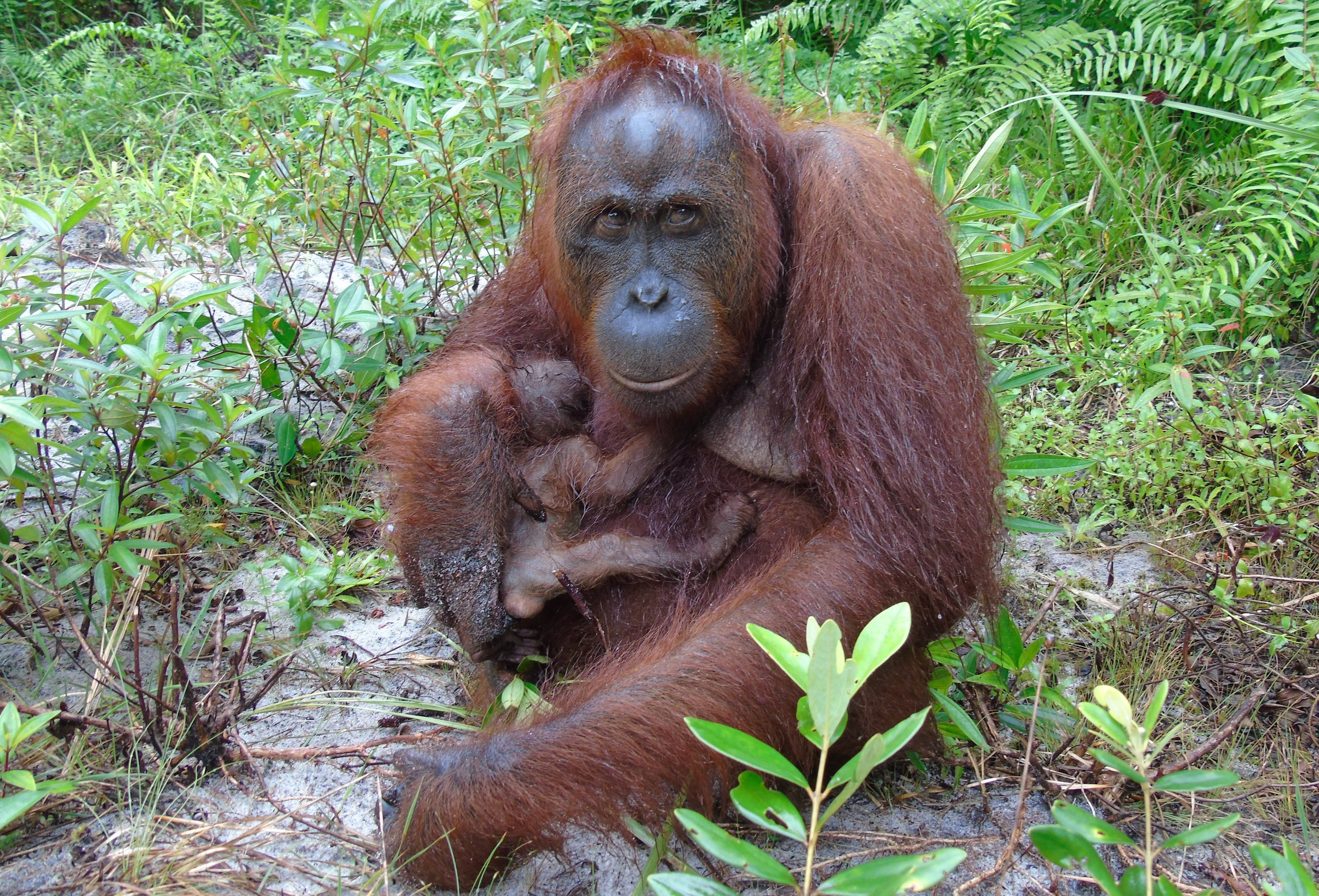 Mores will teach her daughter all she knows. It will take several years for her baby to be able to feed and move about the forest independently.  For more details, please read our    blog.