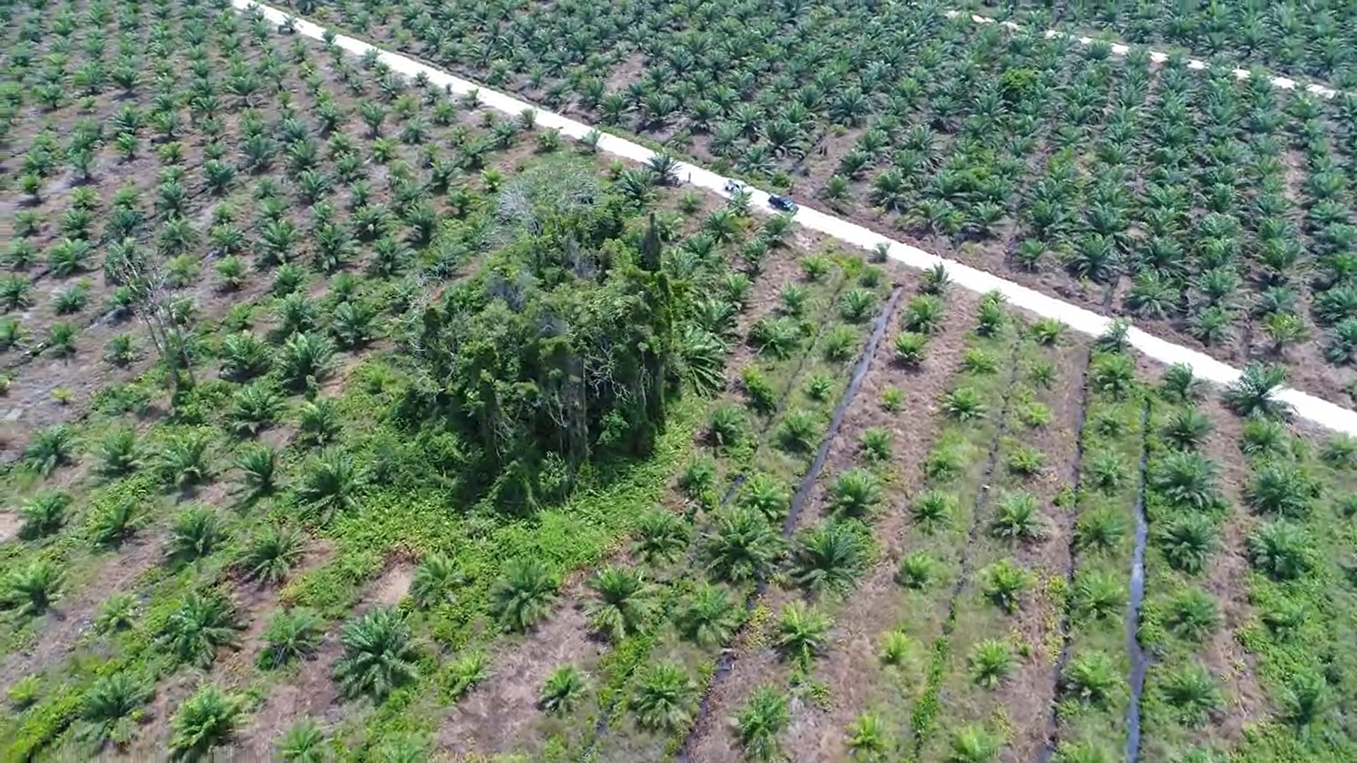 Oil palm plantation completely encompass the pair and their small fragment of forest