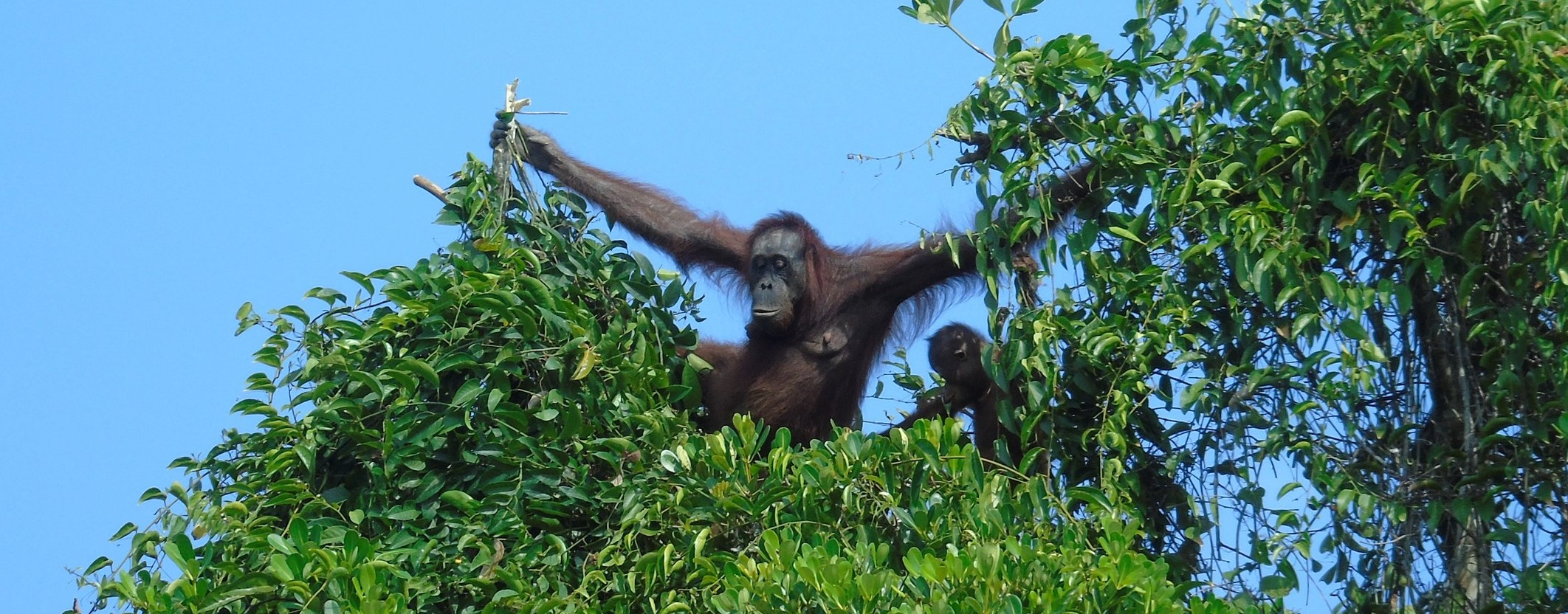 Orangutans high in the canopy