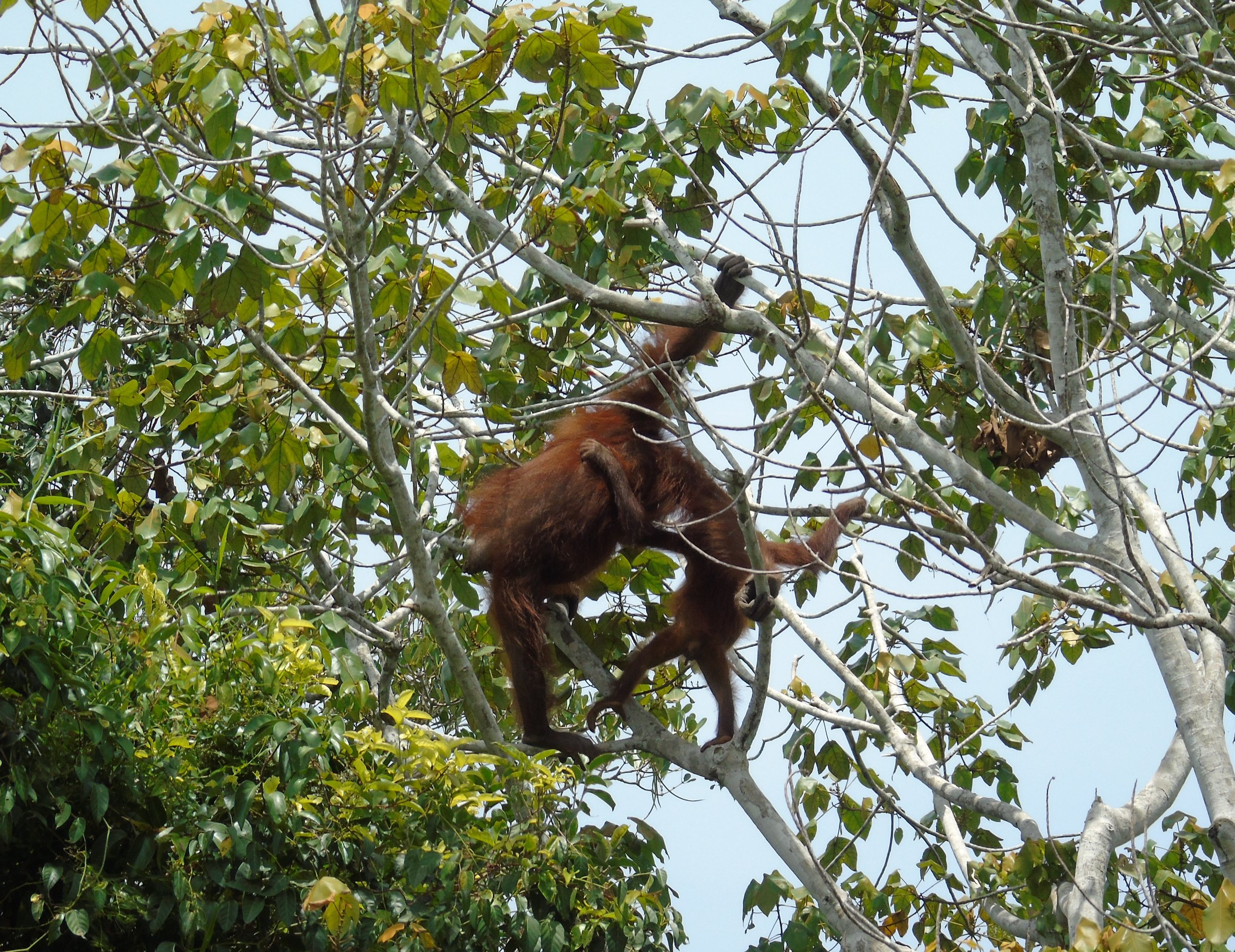 Mother and infant climb higher into the trees