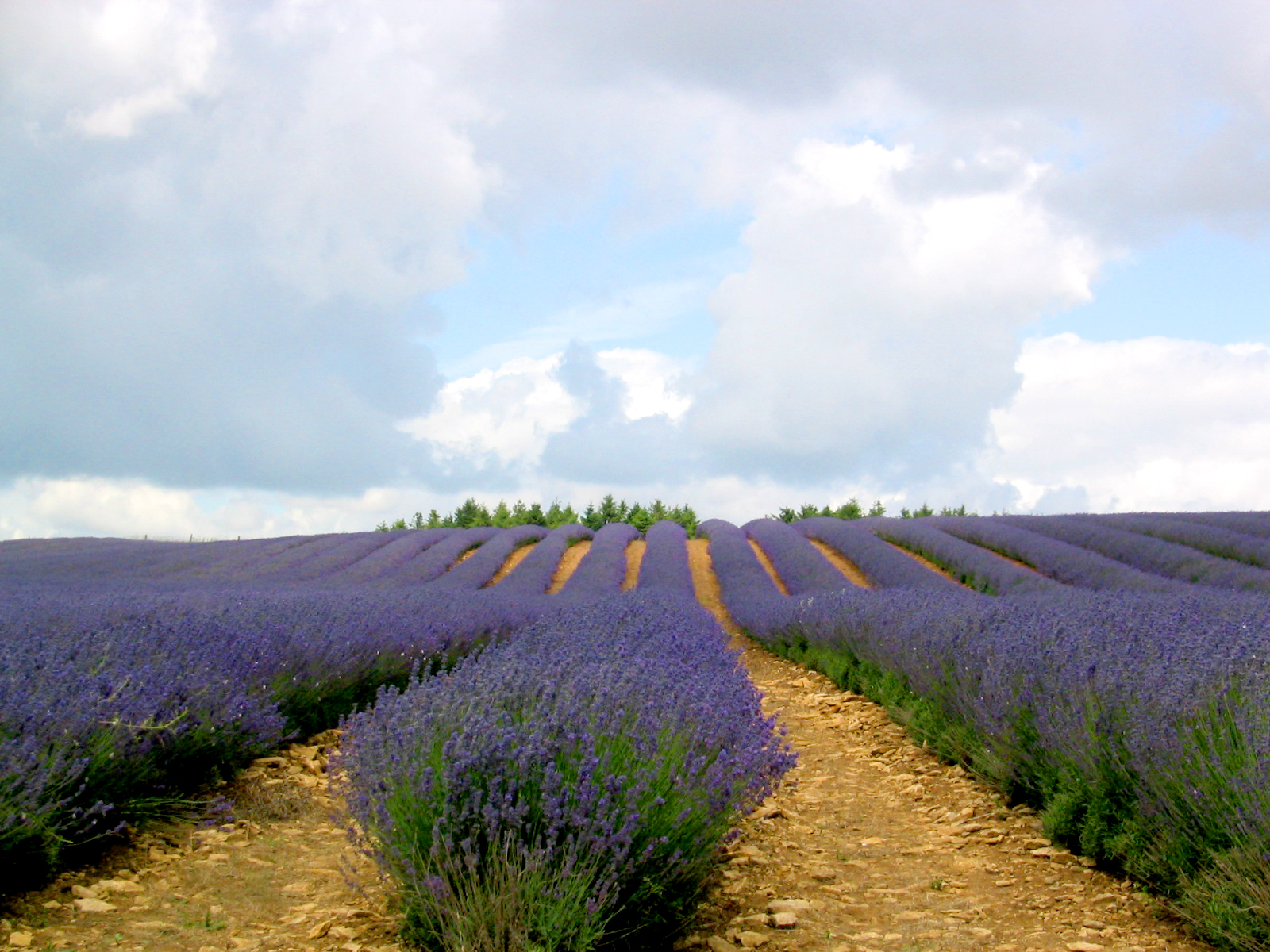 lavender-field-1500646.jpg