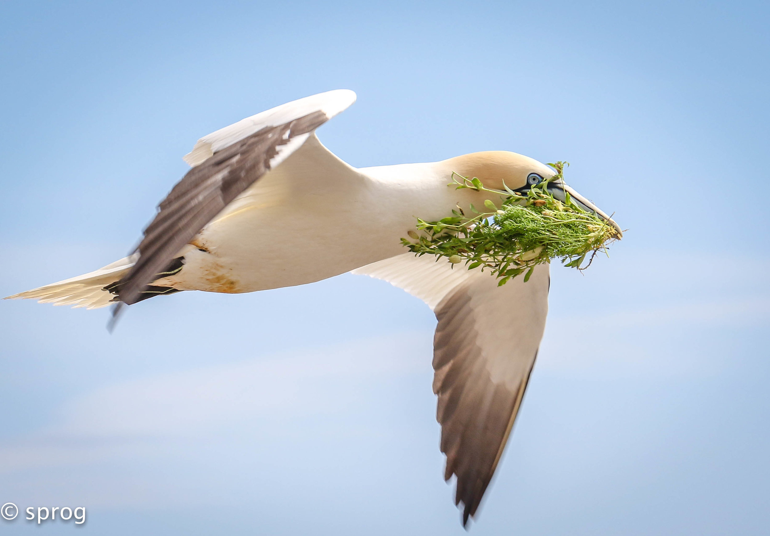 Gannet, Saltee Islands. Winning Image Irish Biodiversity Photographer of the year 2017.