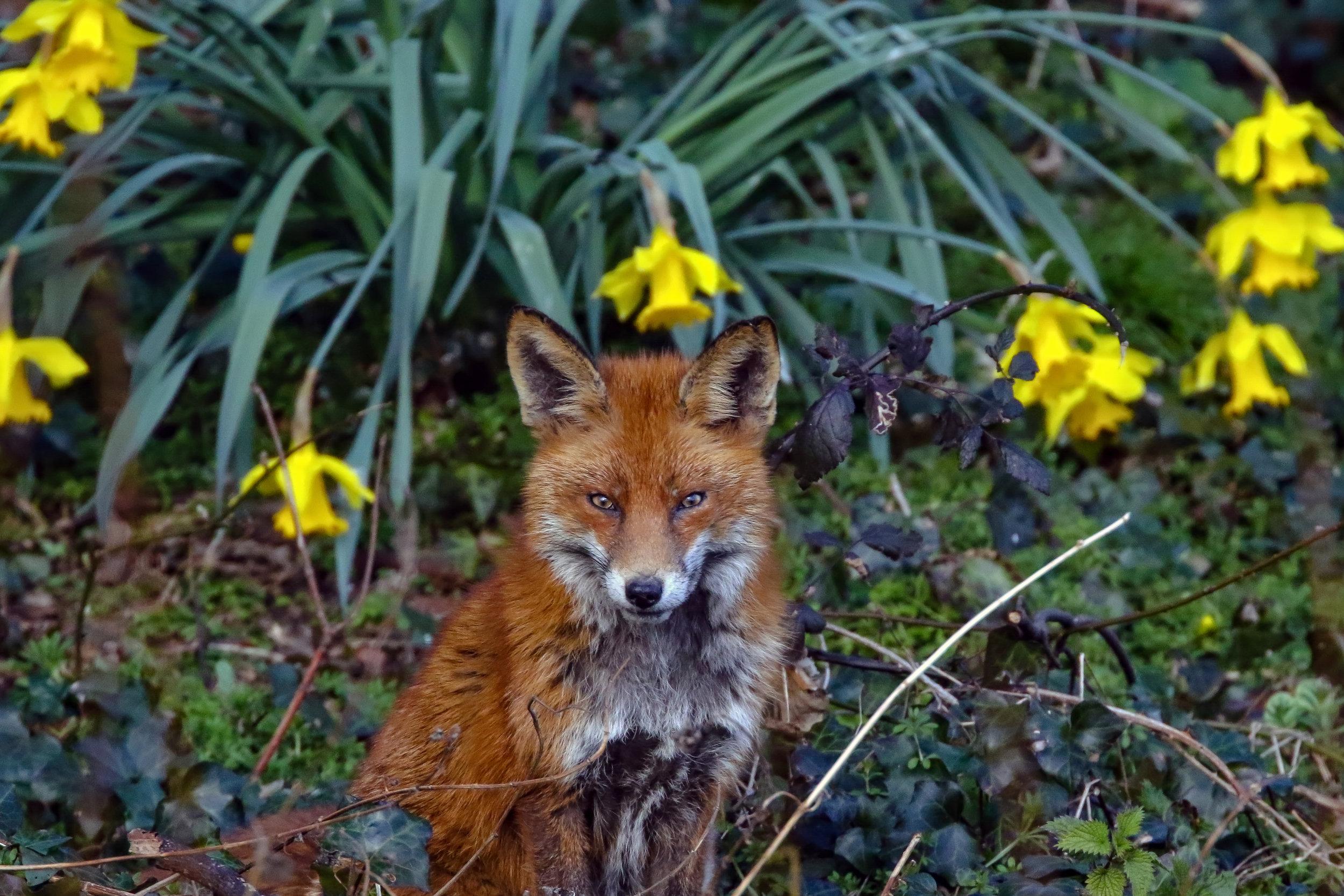 Vixen with Daffodils, Dublin.