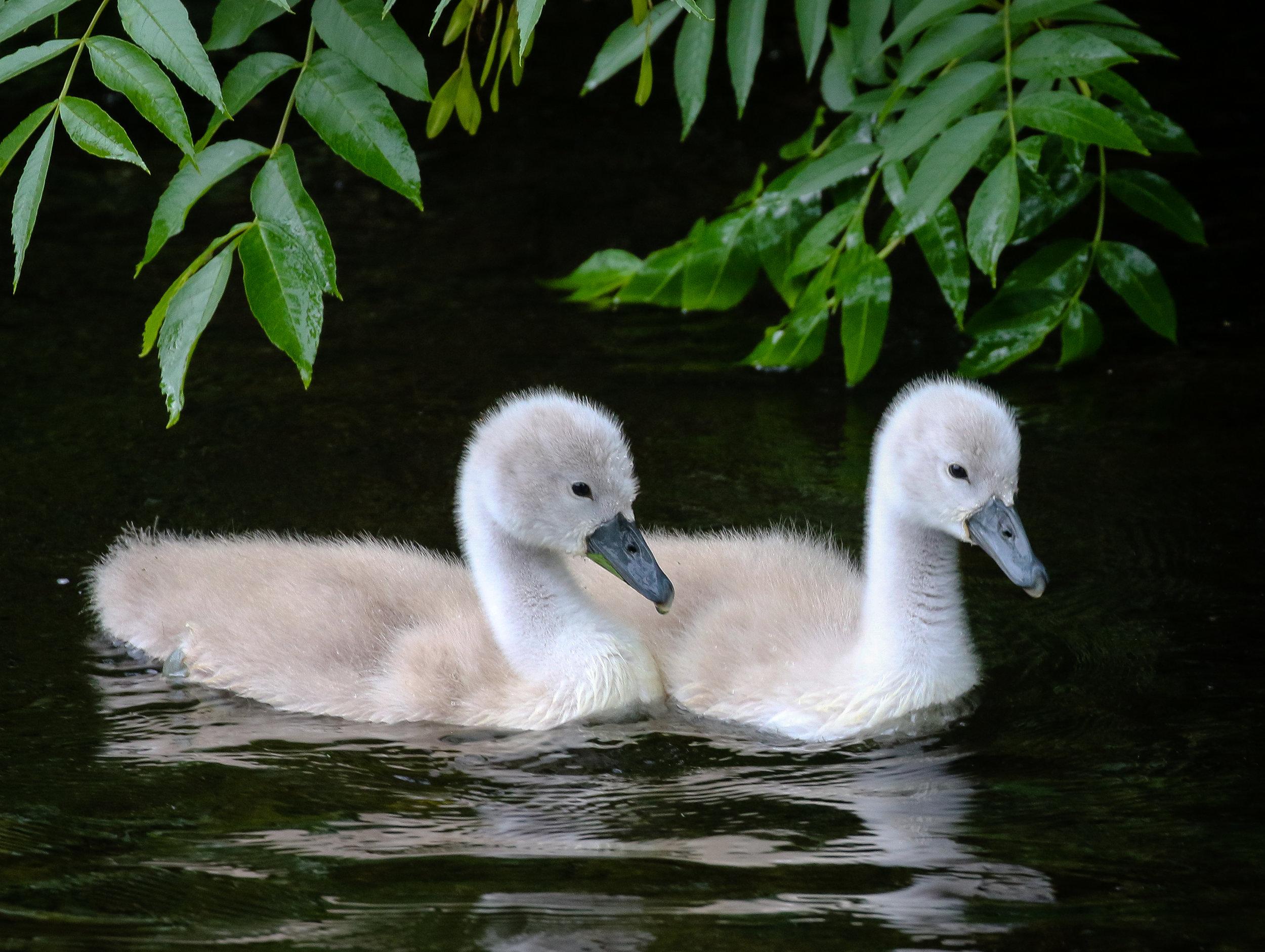 Mute Swan Cygnets, Midleton.