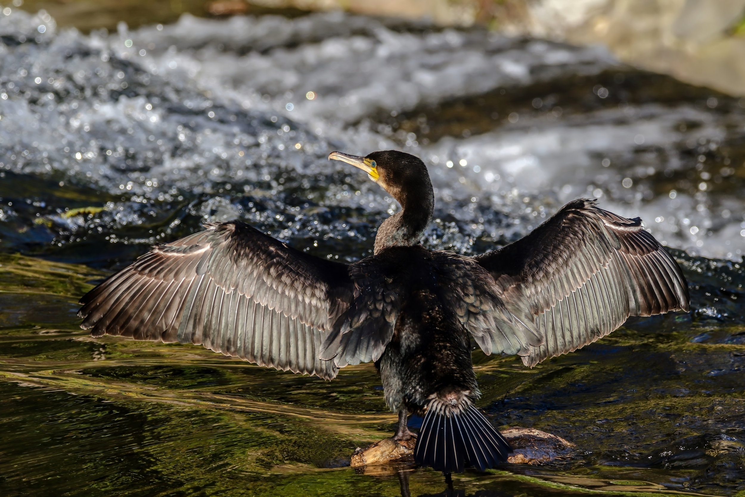 Cormorant drying his wings, Dodder River.