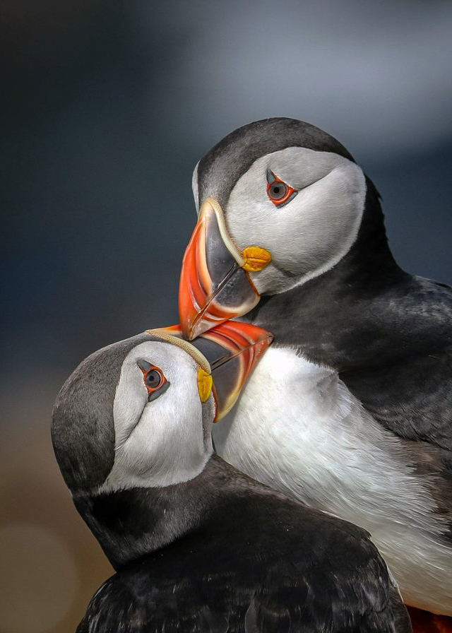 Puffins, billing ritual. Saltee Islands.