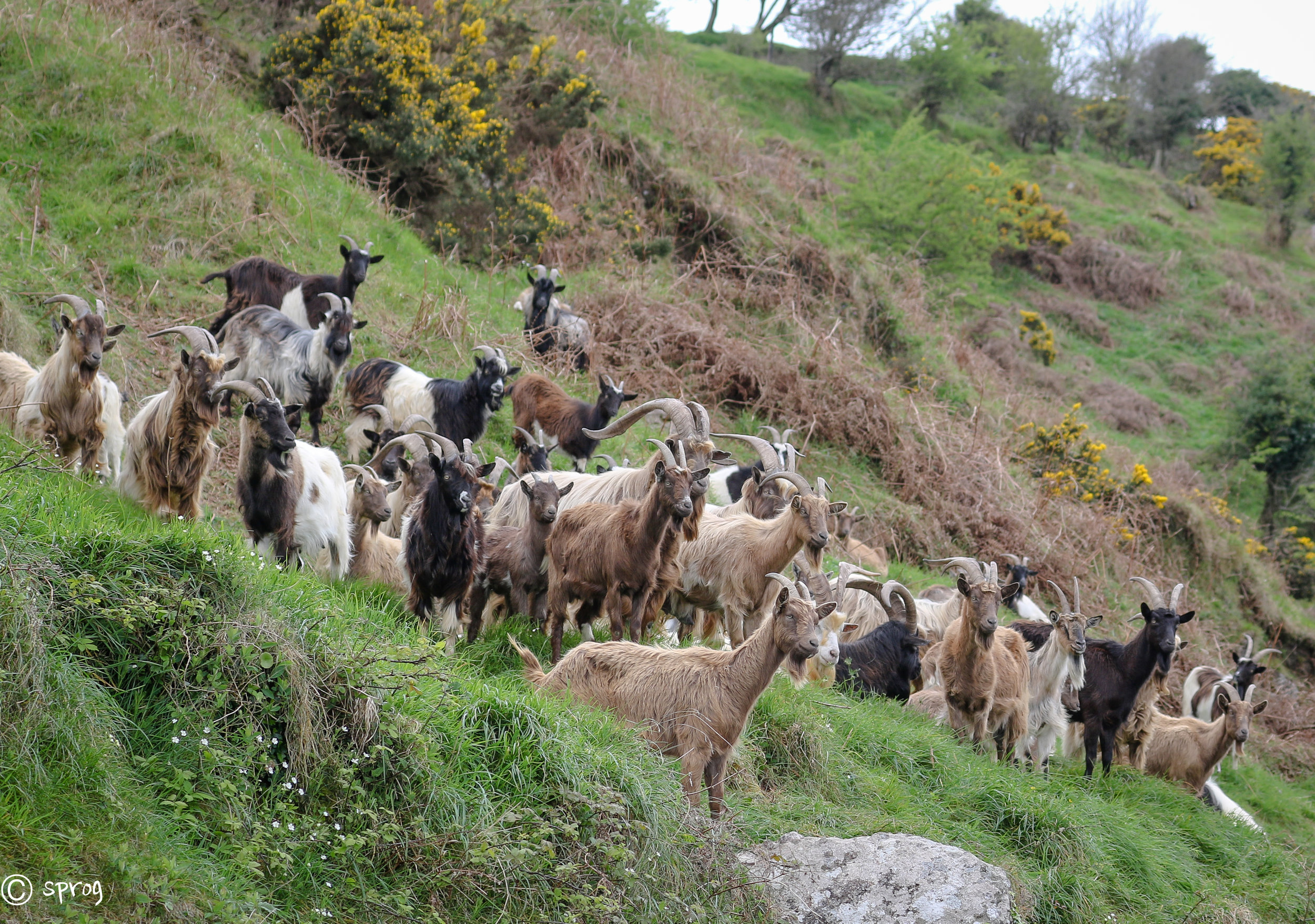 Wild Goat Herd, Passage East, Waterford.