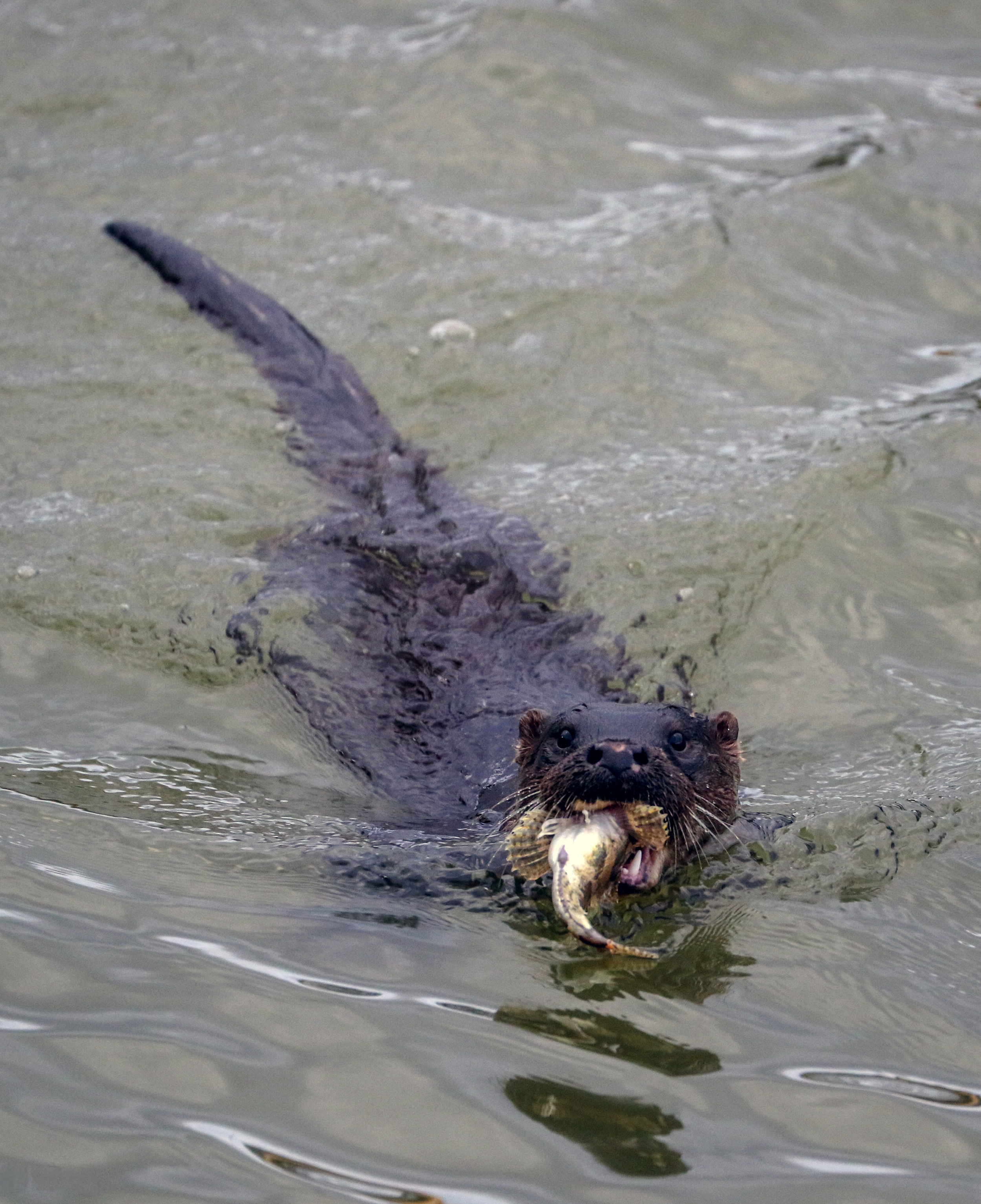 Otter, with Scorpion Fish, Wexford Harbour.