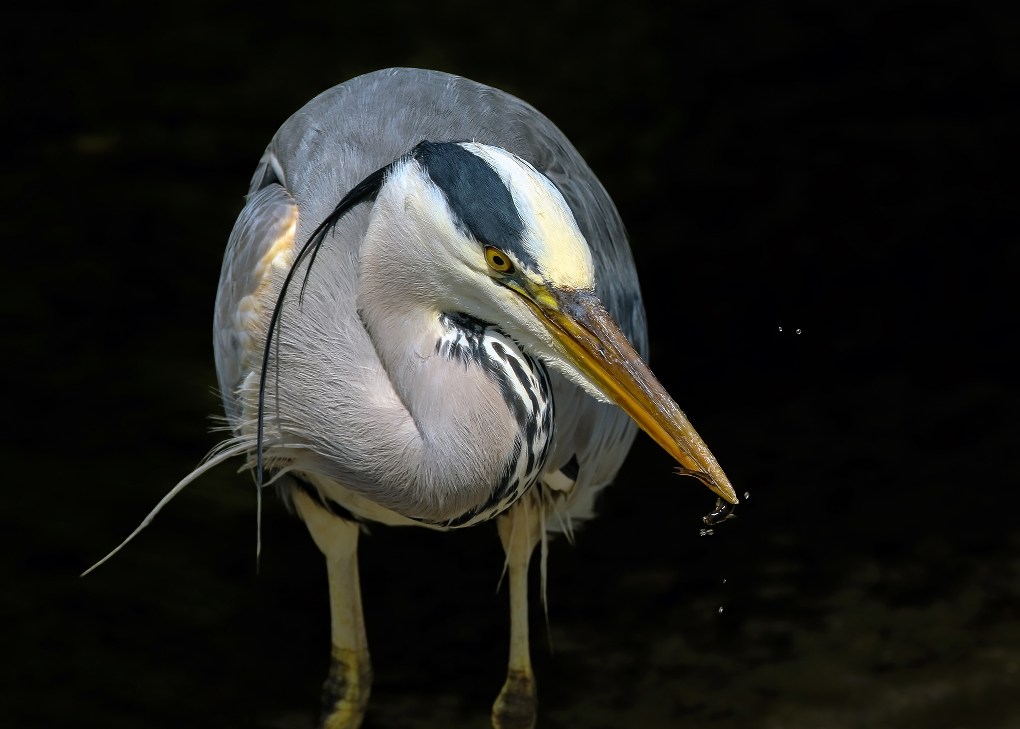Heron, Dodder River.