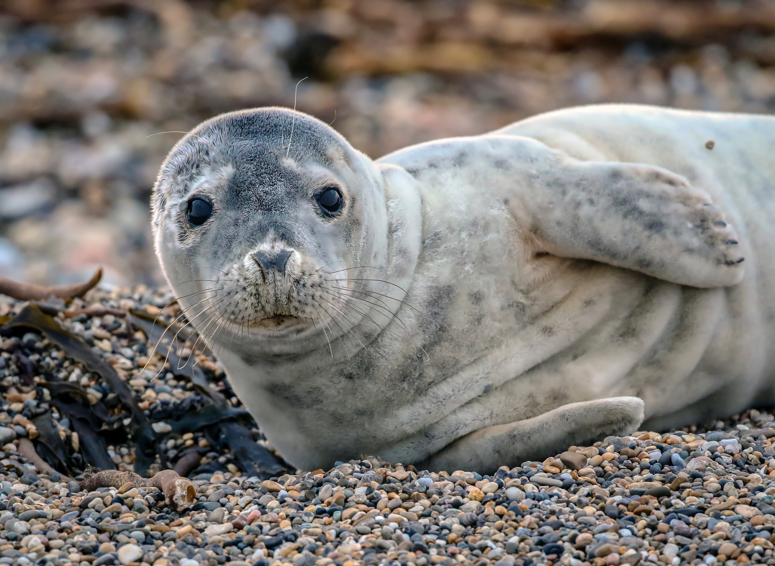 Seal Pup, Carnsore Point.
