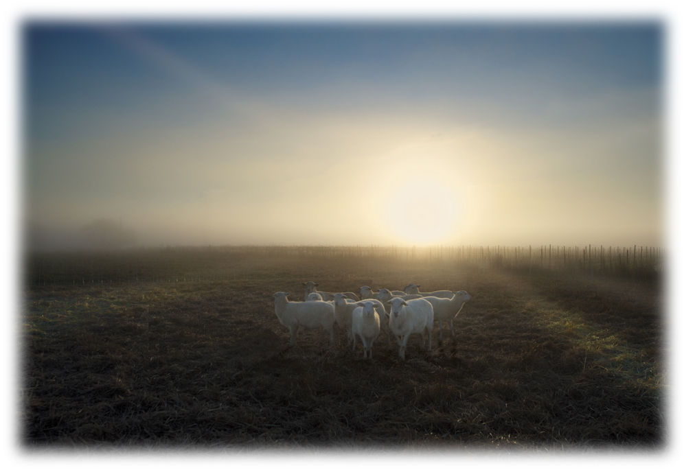 Sheep4b_feather.jpg