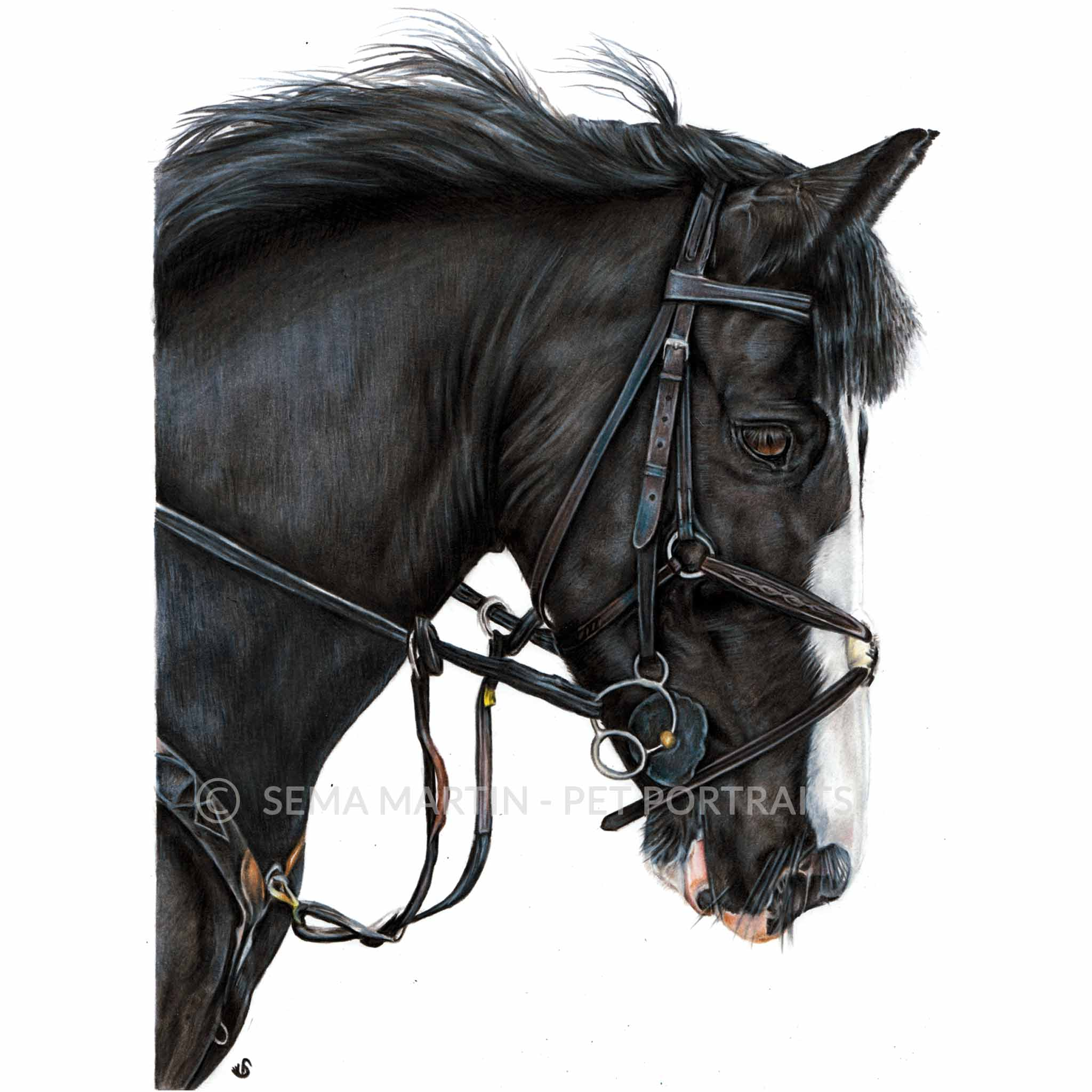 'Billy' - UK, 8.3 x 11.7 inches, 2018, Colour Pencil Horse Portrait by Sema Martin