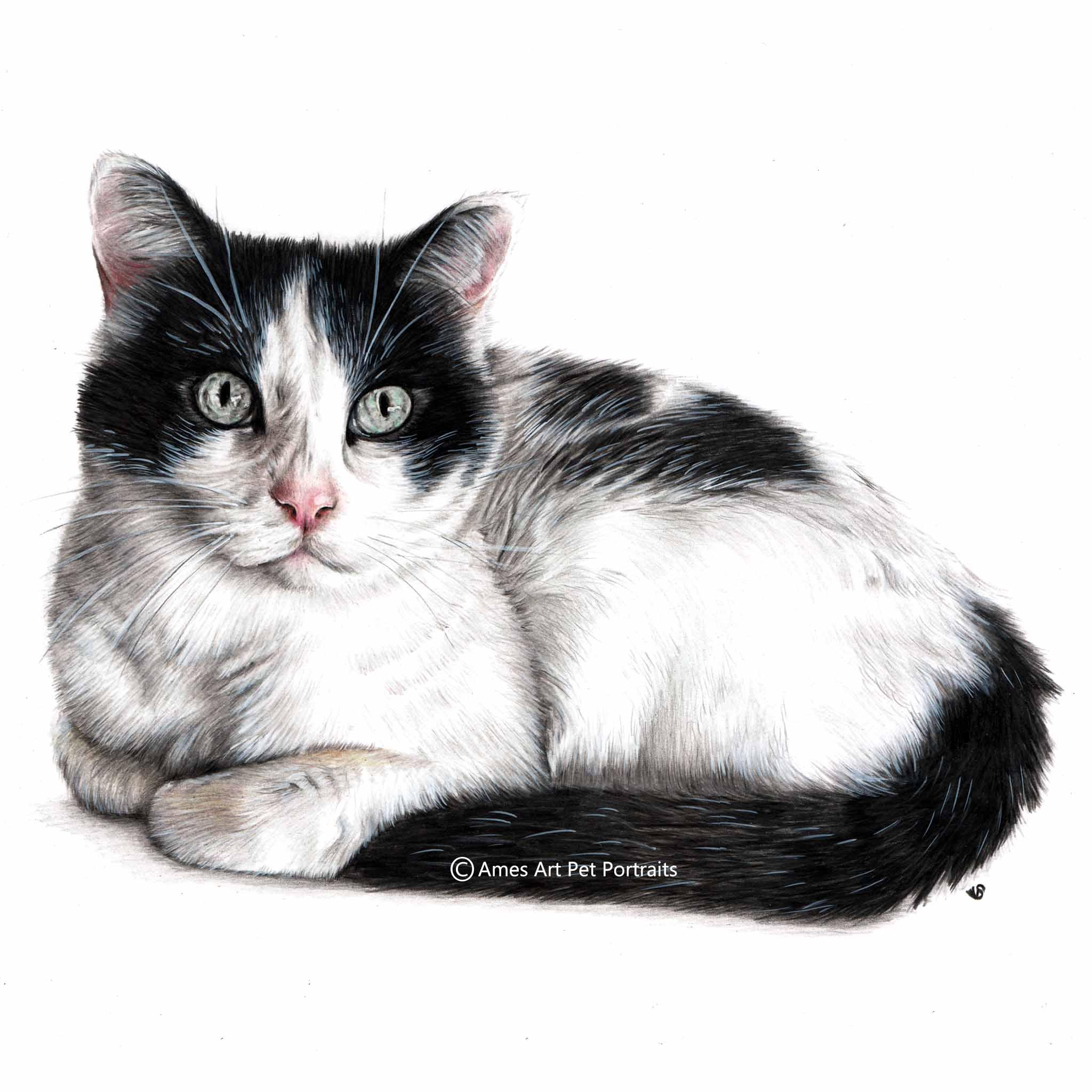 'Oreo' - USA, 11.7 x 16.5 inches, 2017, Color Pencil Cat Portrait